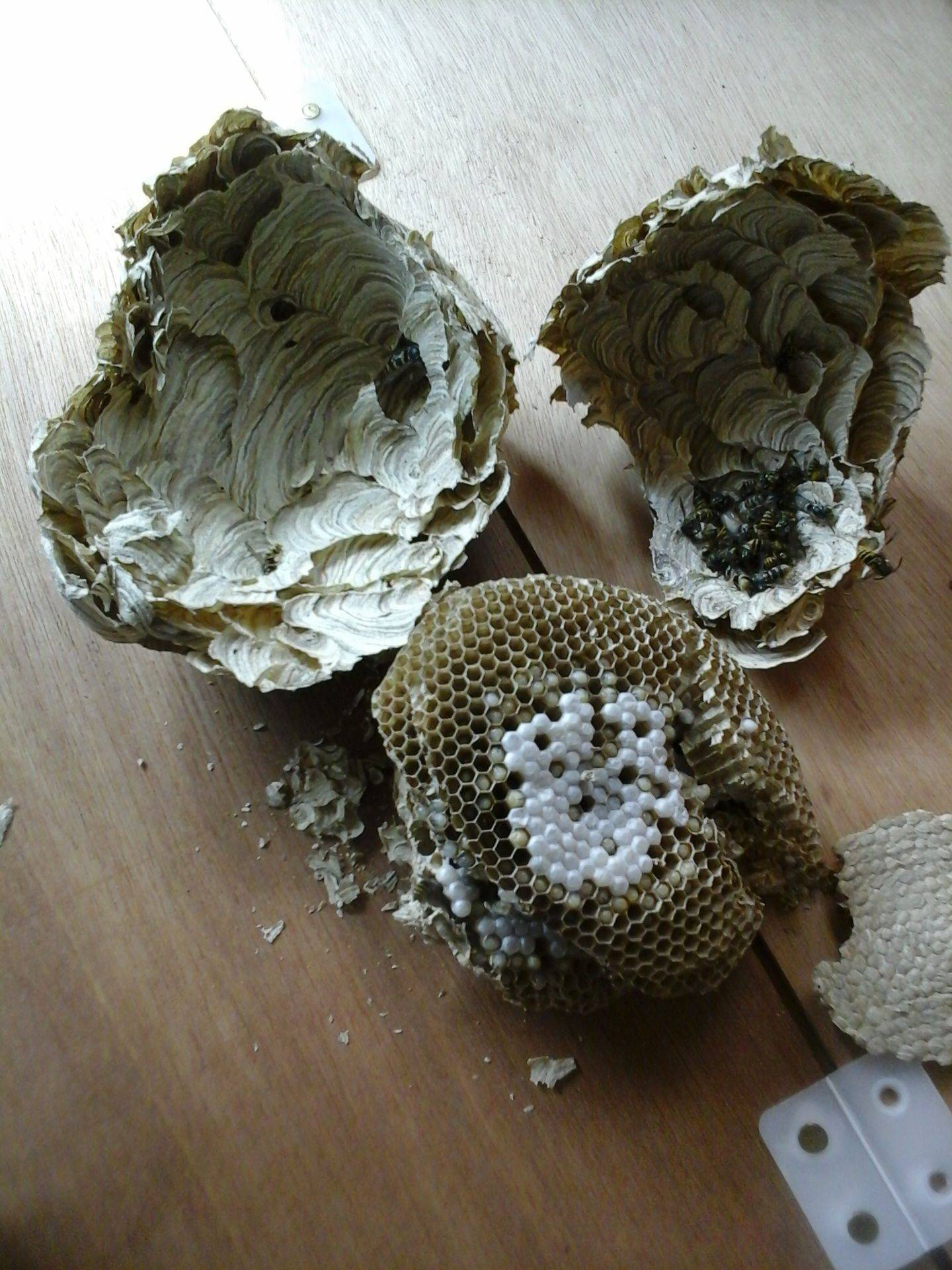 inside a wasp nest ipswich