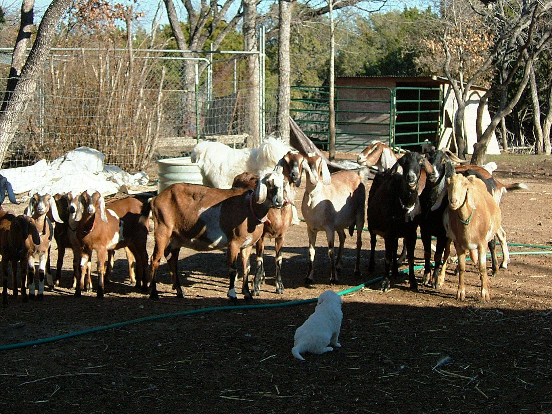 Curious goats checking out the new guy