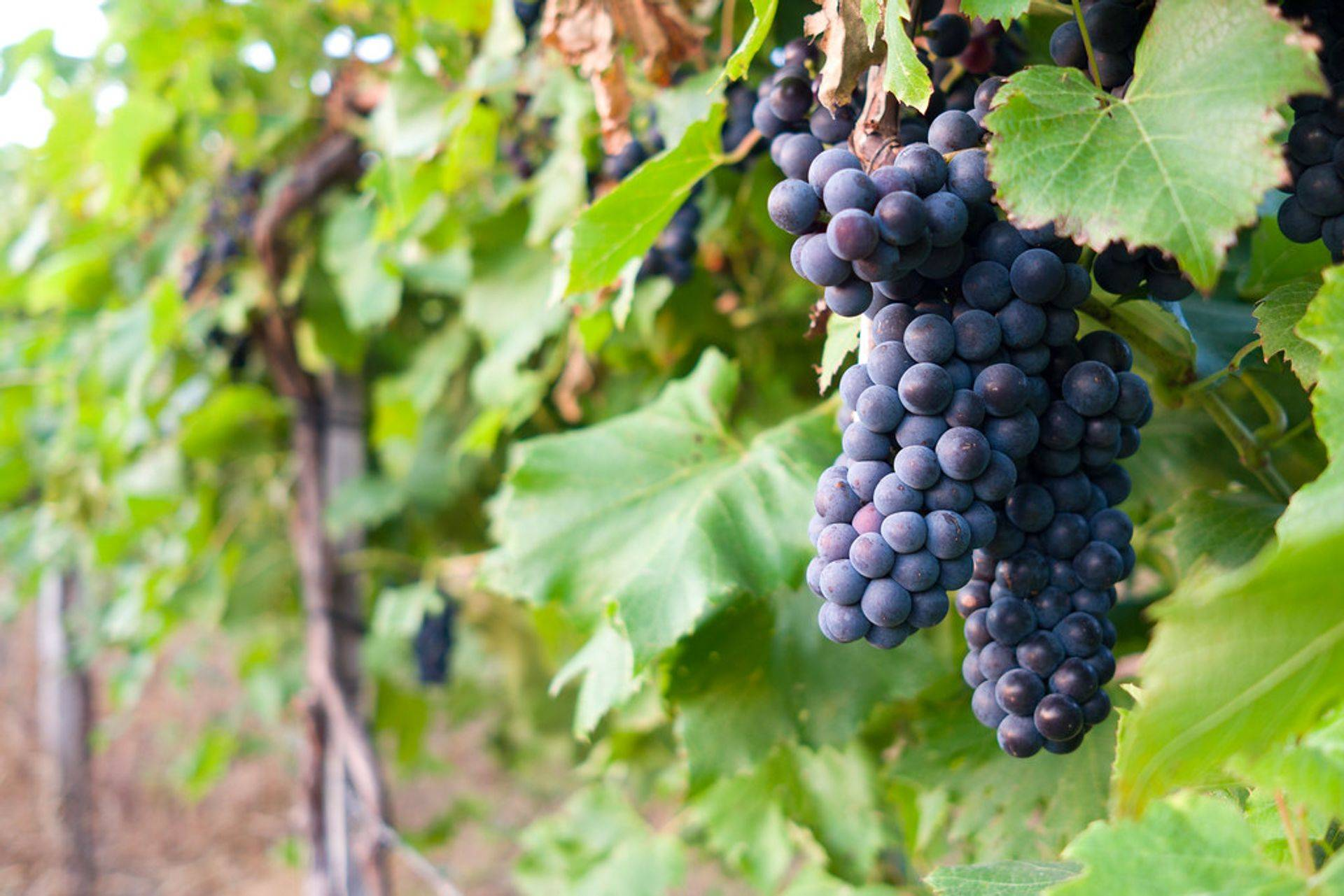 We only use the best Pinot Noir grapes in our wine