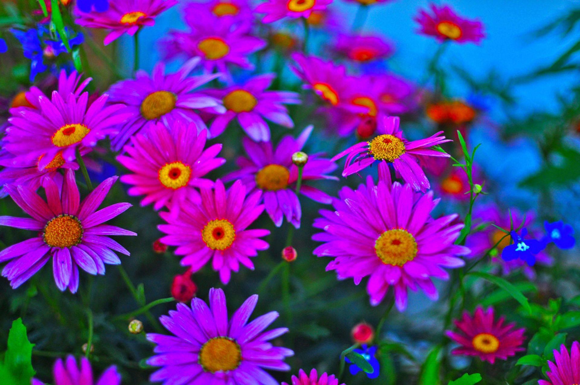 Vakre sommerblomster