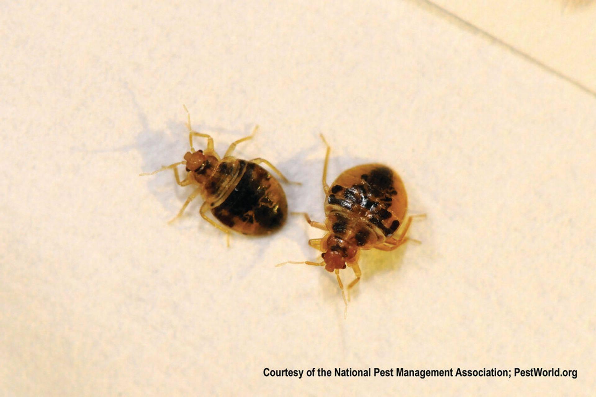Bed bug nymphs