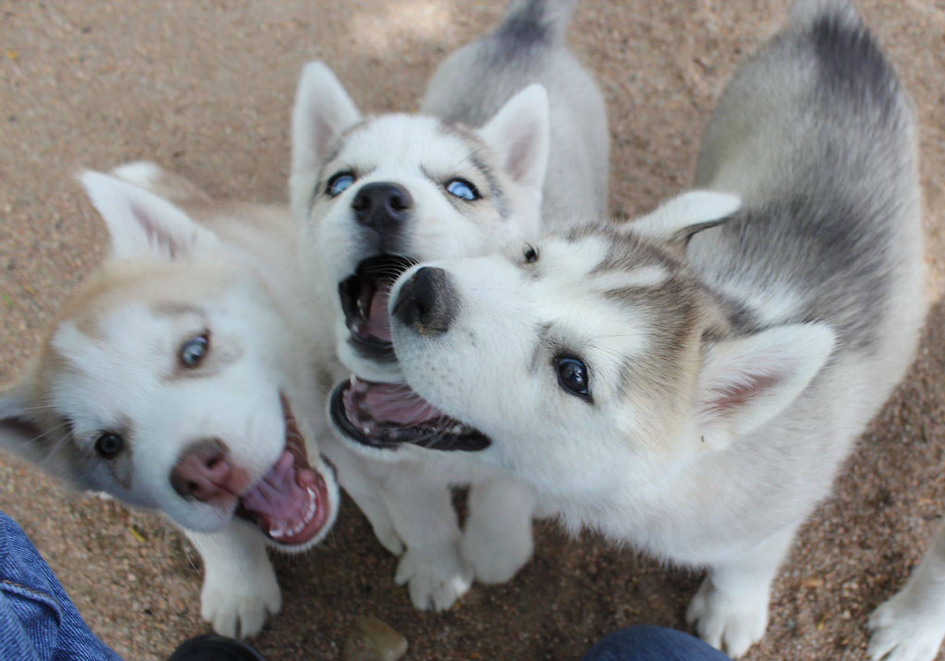 Husky puppies play time