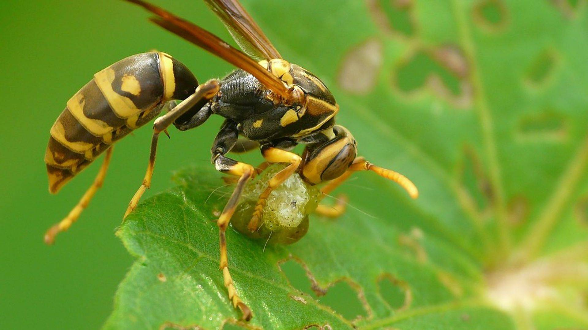 A wasp with prey