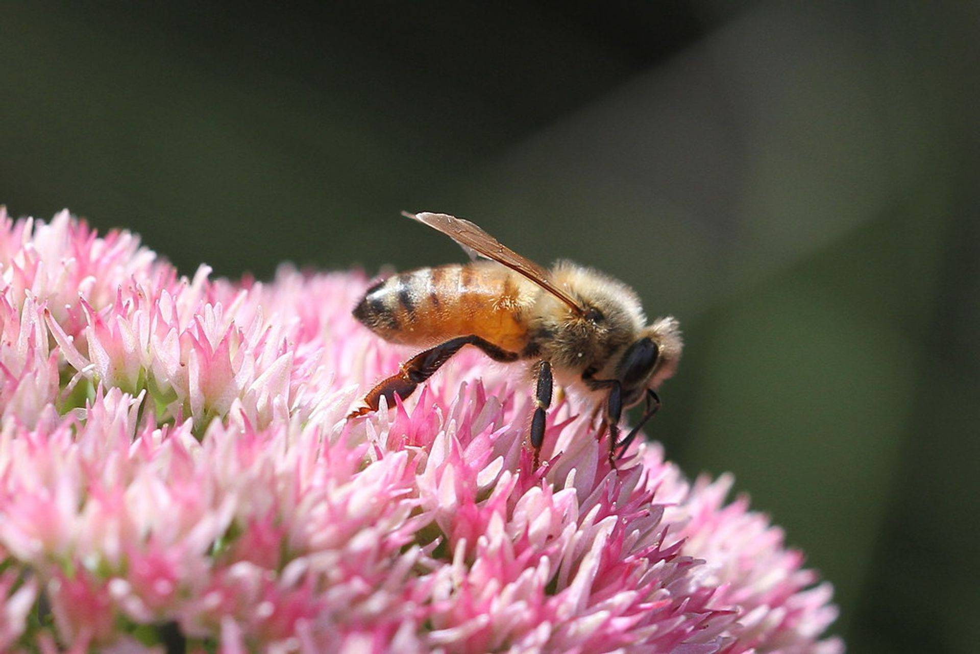 Honey Bee Pollination