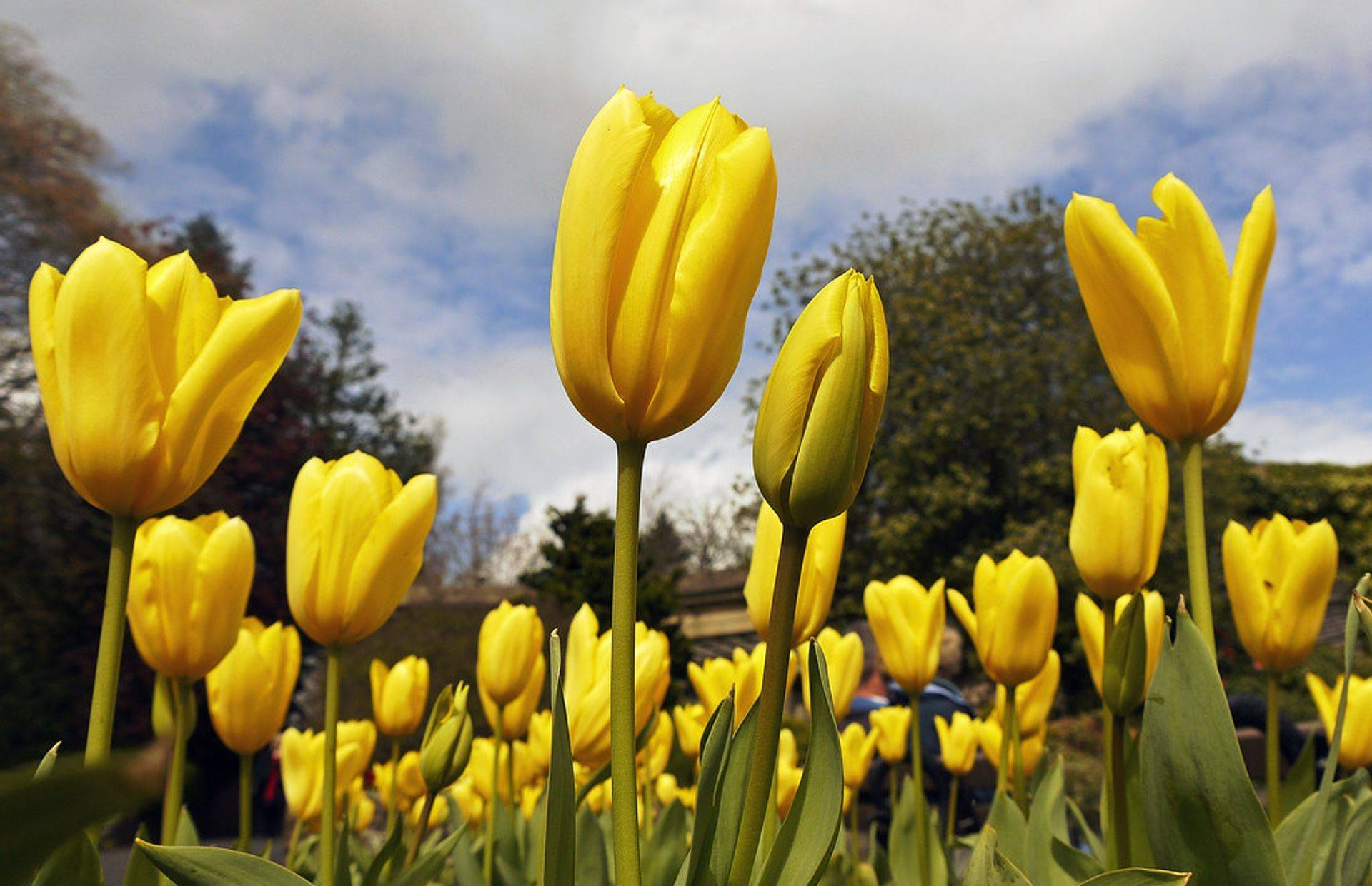 The Green Man Lawn & Landscaping yellow tulips