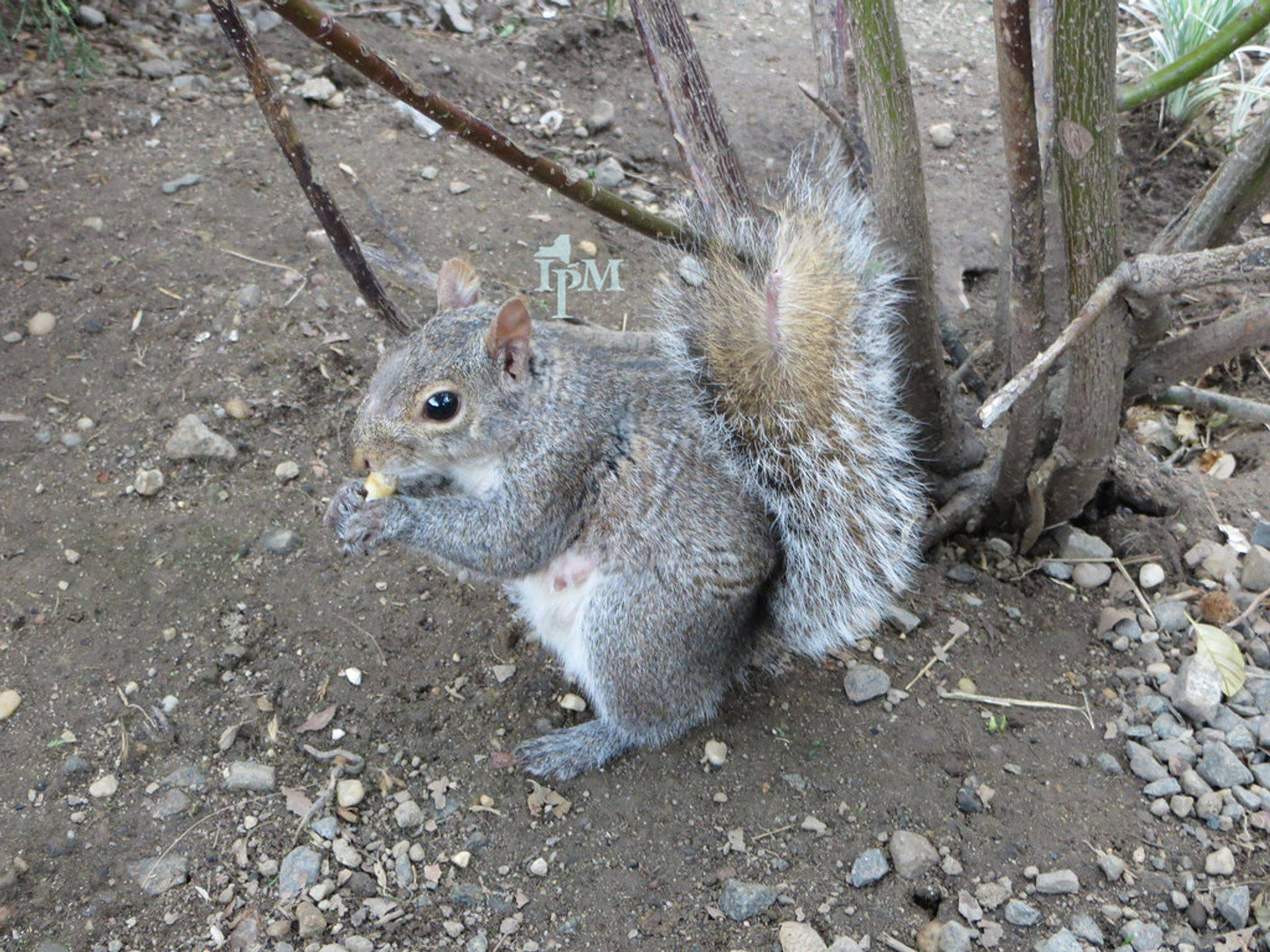 grey squirrel can be a real pest if inside your home