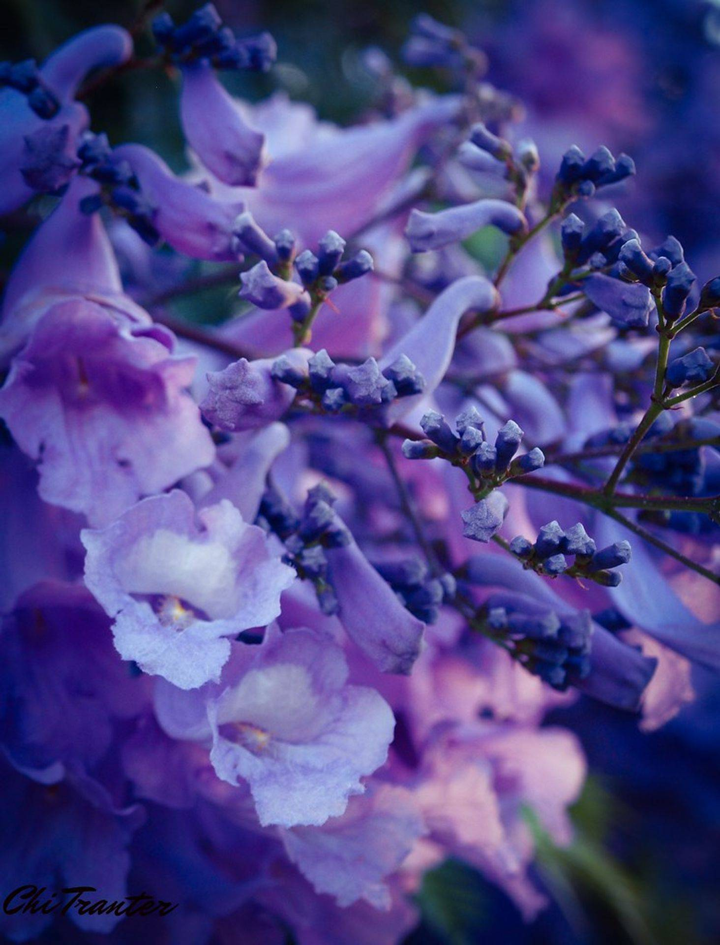 Jacaranda trees are gorgeous in bloom