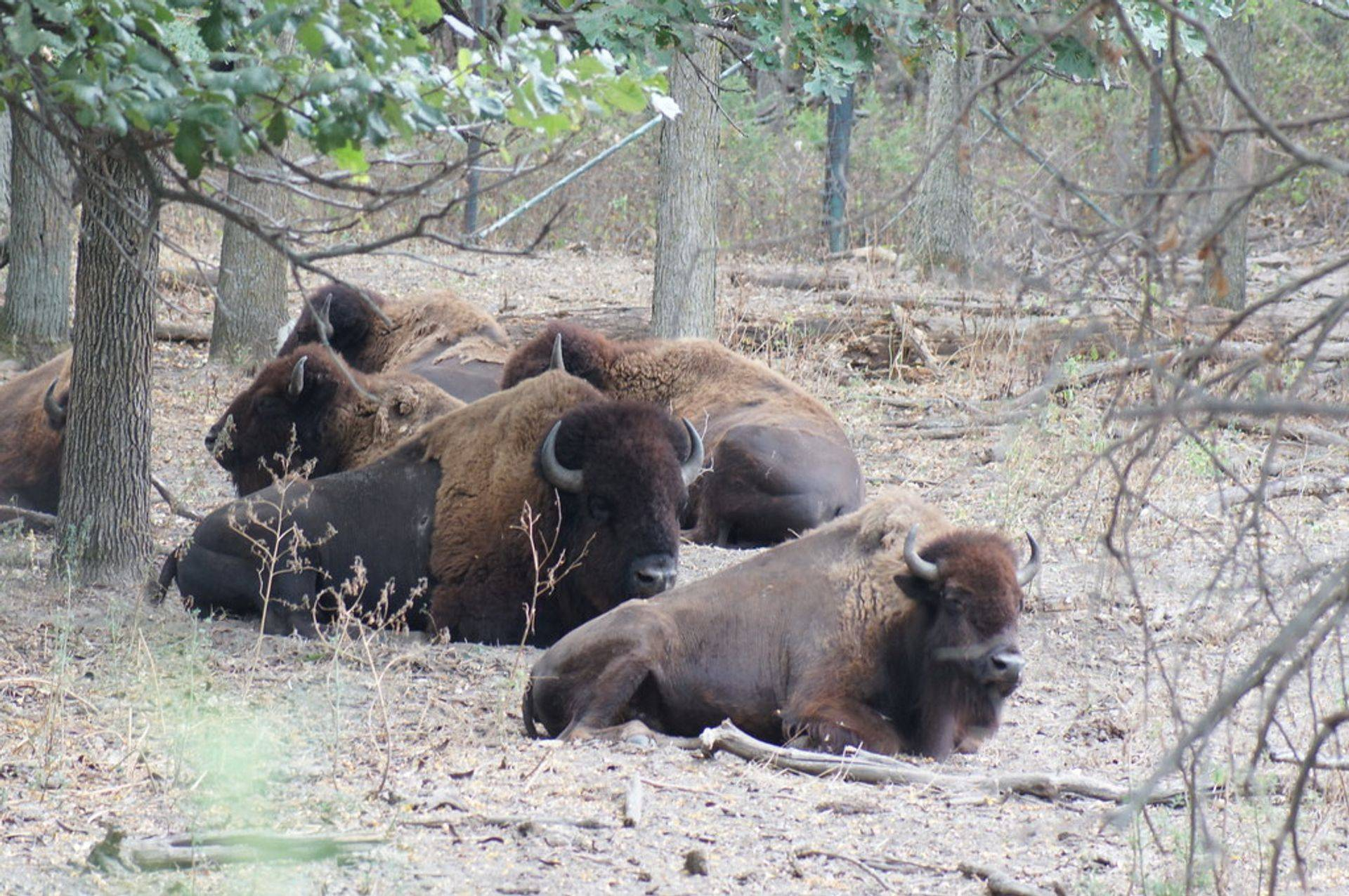 Bison/Buffalo Tours