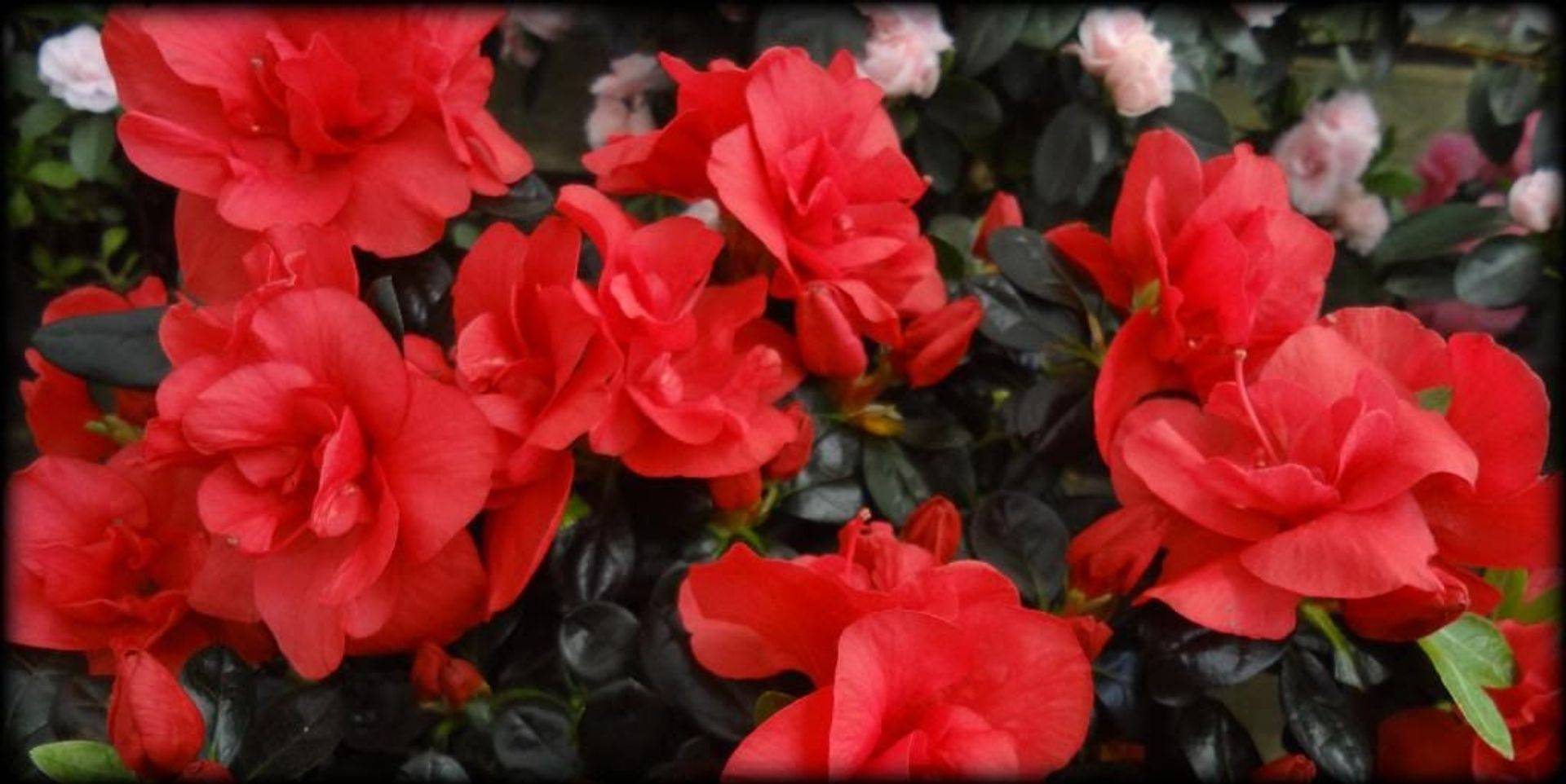 Beautiful Red Azalea