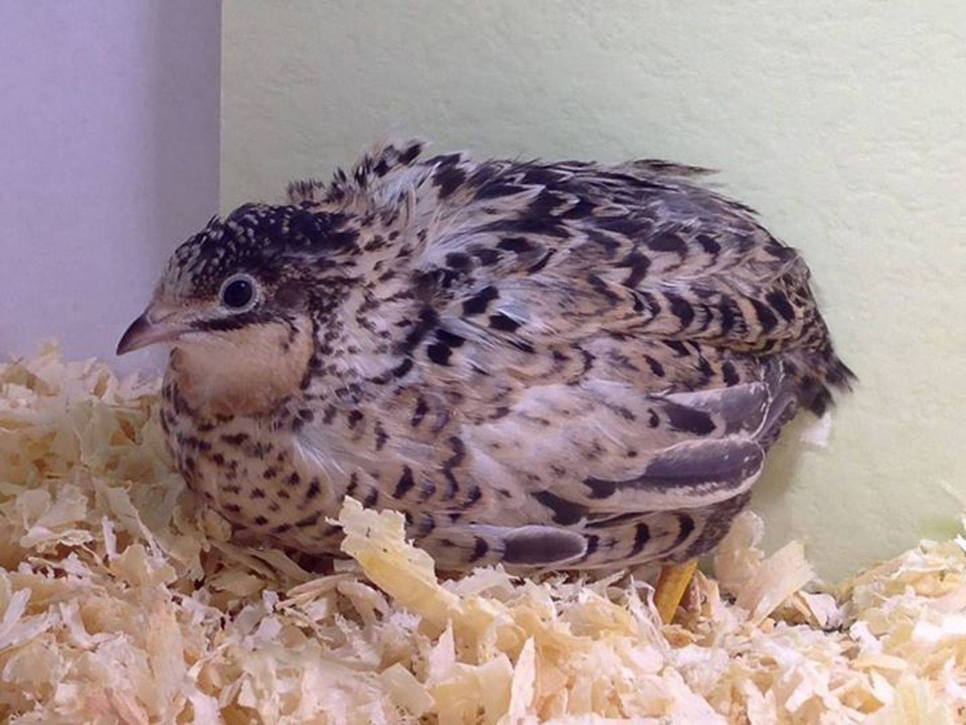 Button Quail, Chinese Painted Quail