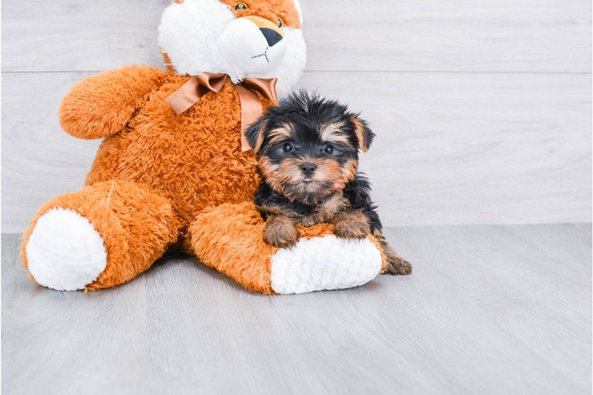 teacup yorkie puppy, teacup yorkie puppies, maltese puppies, teacup maltese puppies