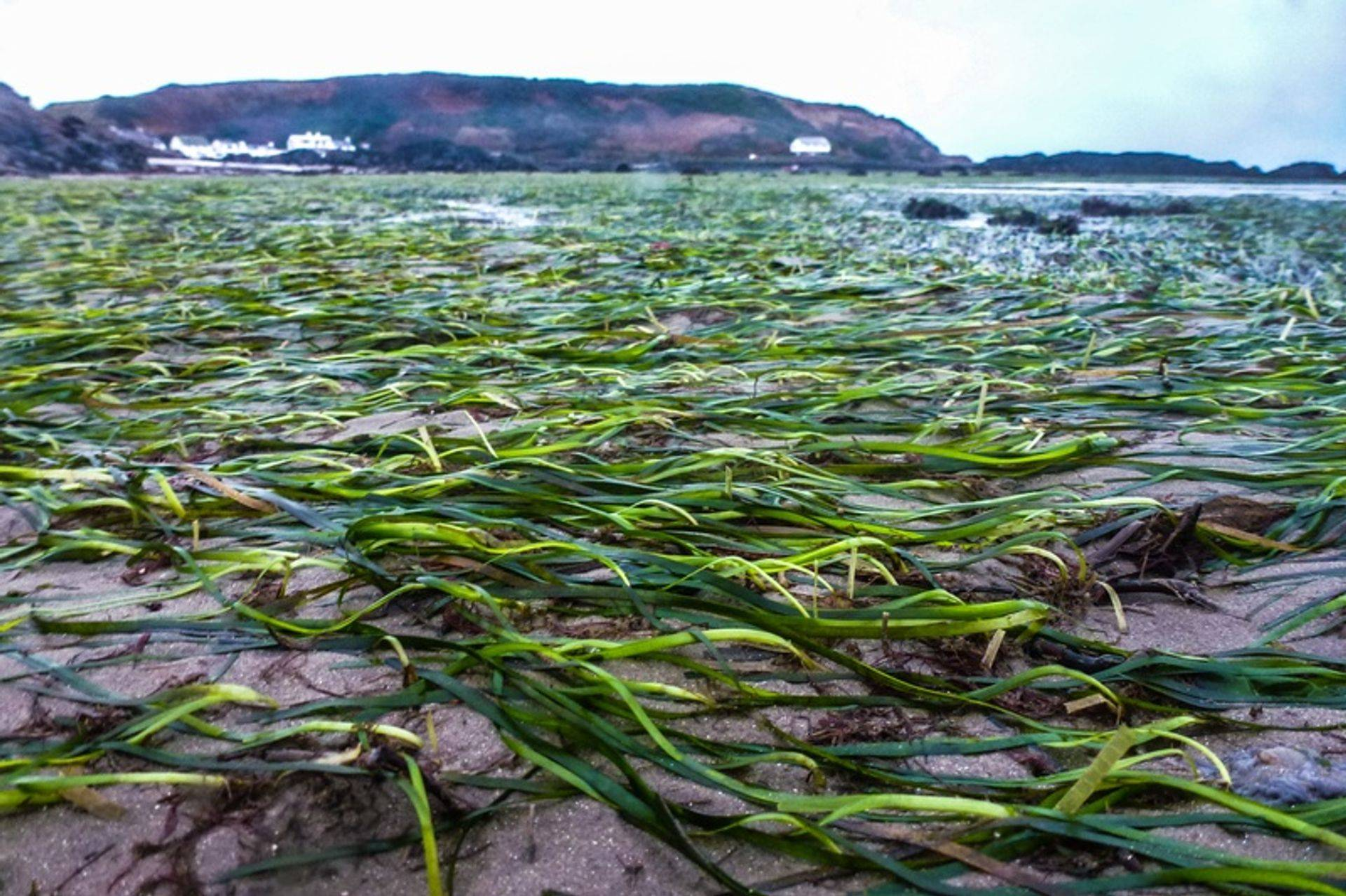 A Zostera marina (eelgrass) seagrass meadow in Porthdinllaen, Wales.
