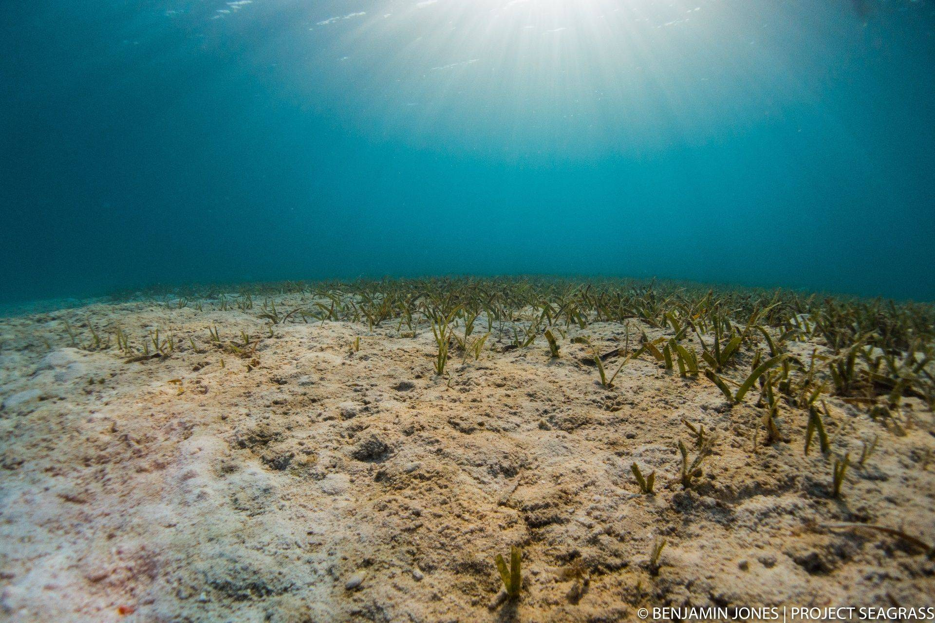 A Seagrass meadow in Indonesia. Photo by Benjmain Jones
