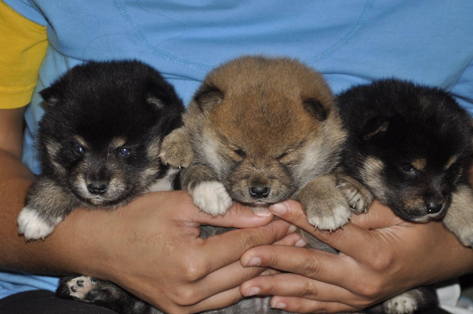 Trained Shiba inu puppies