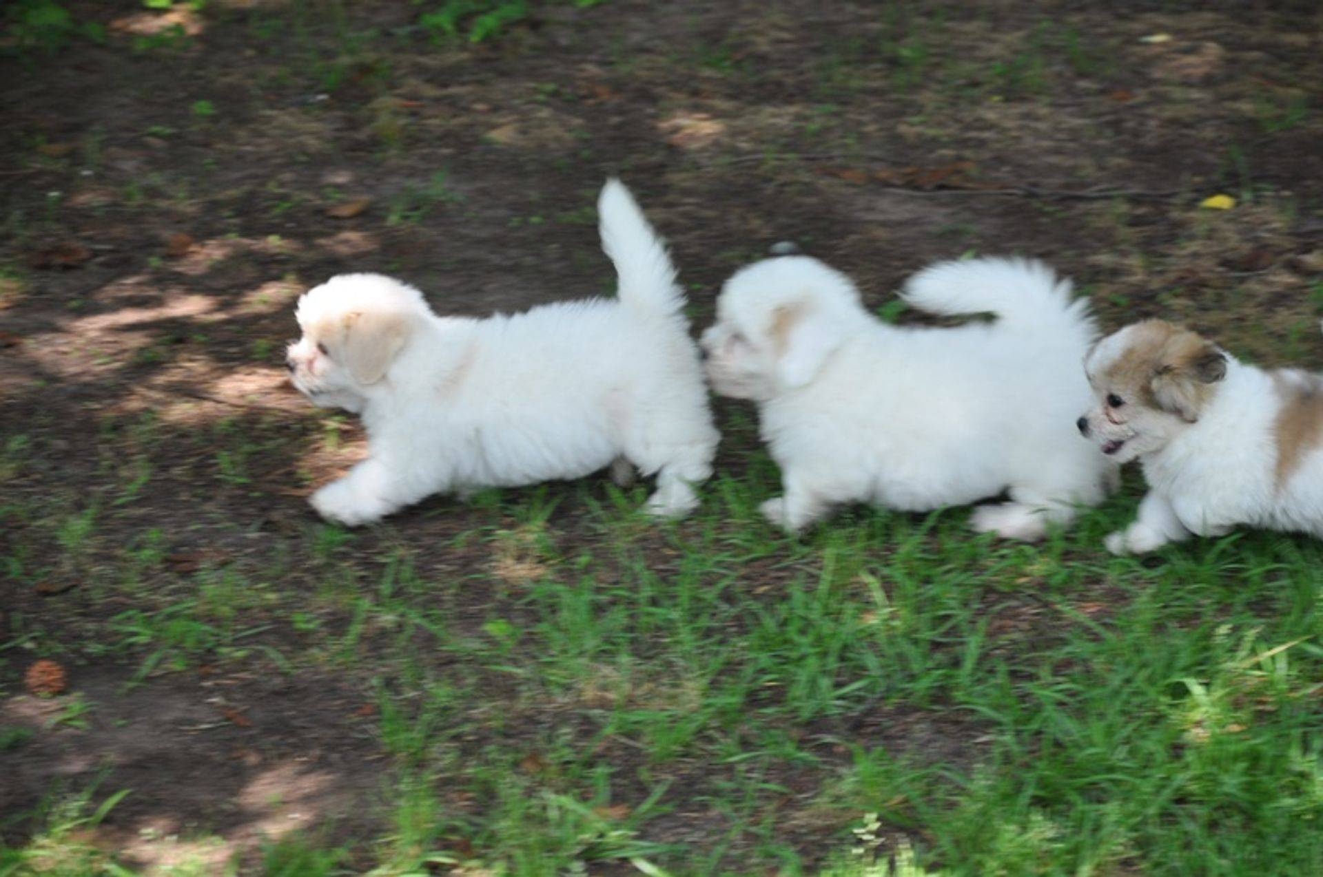 Coton de tulear puppies playing in the grass