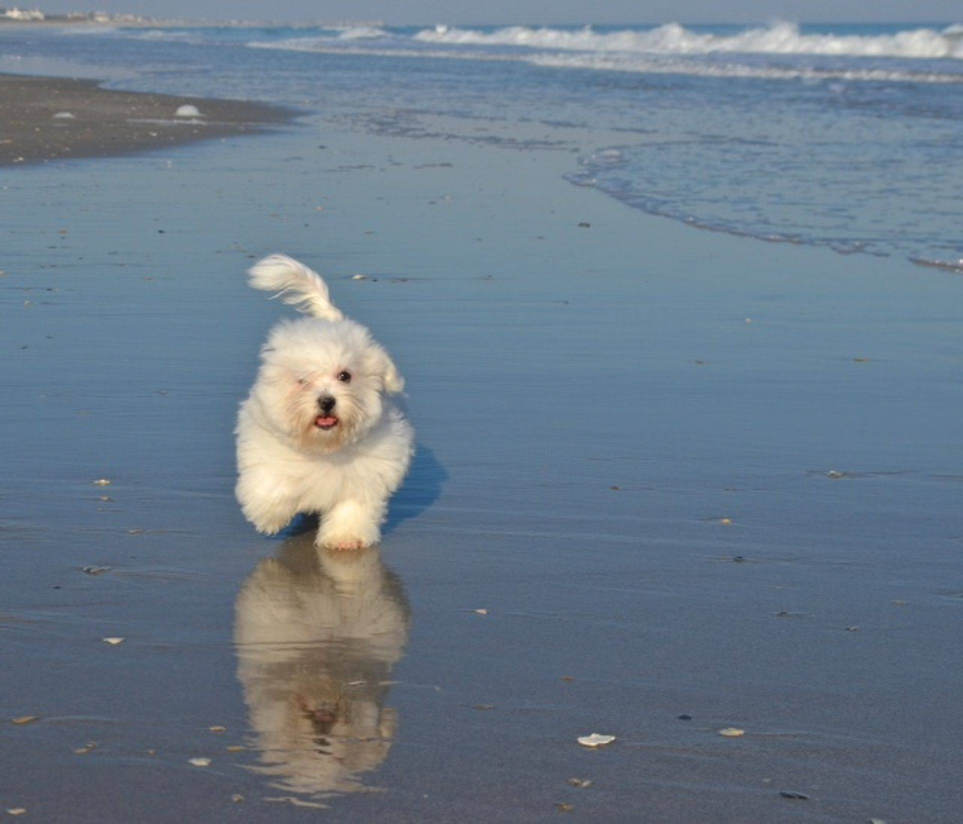 Coton de tulear puppy playing on the beach
