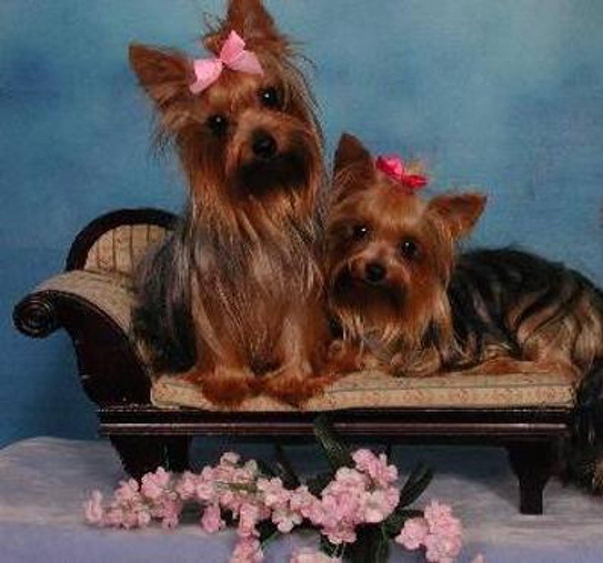 Gorgeous Teacup Yorkie Puppies For Free Adoption