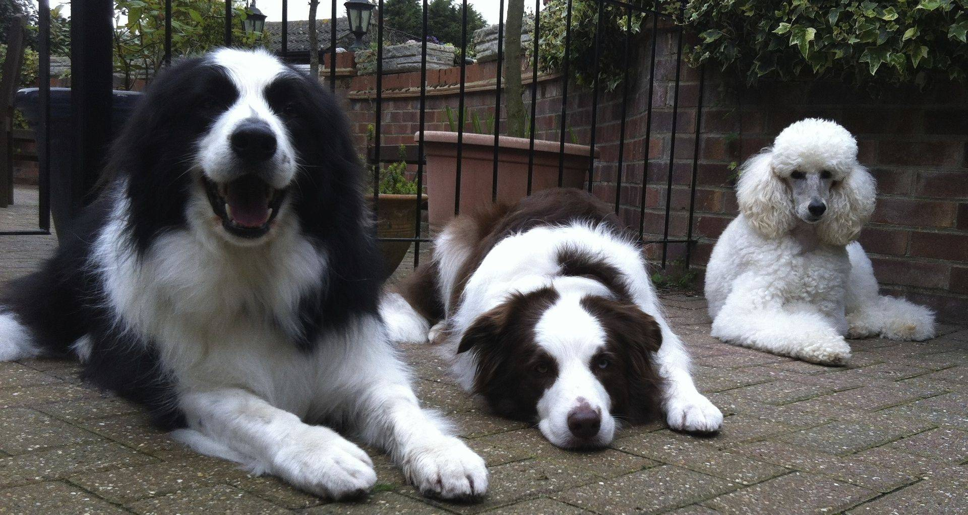 Fly and Charlie - Border Collies with Melody Standard Poodle