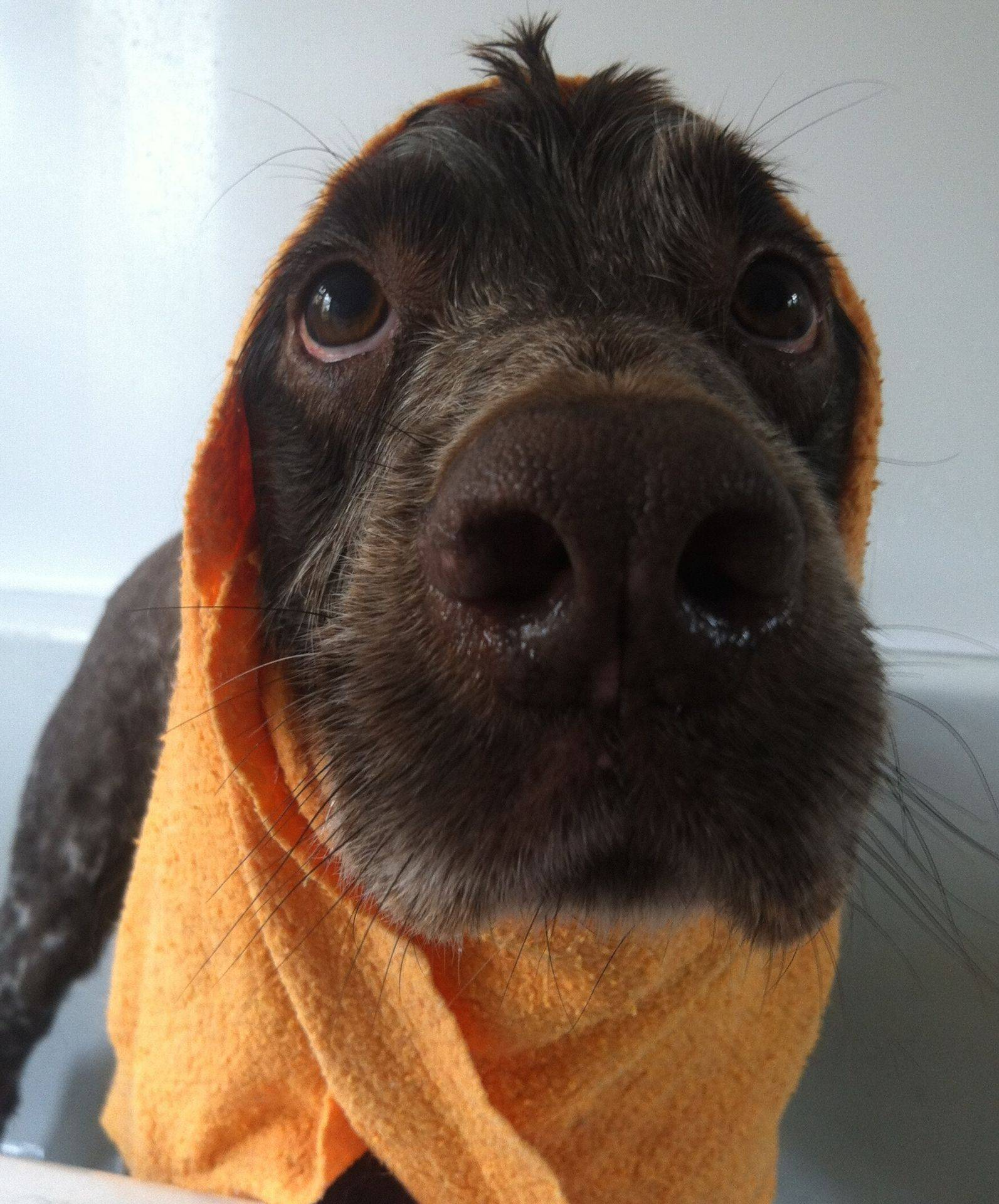 Barney - Working Spaniel. Bath Time at Vickys Dog Care