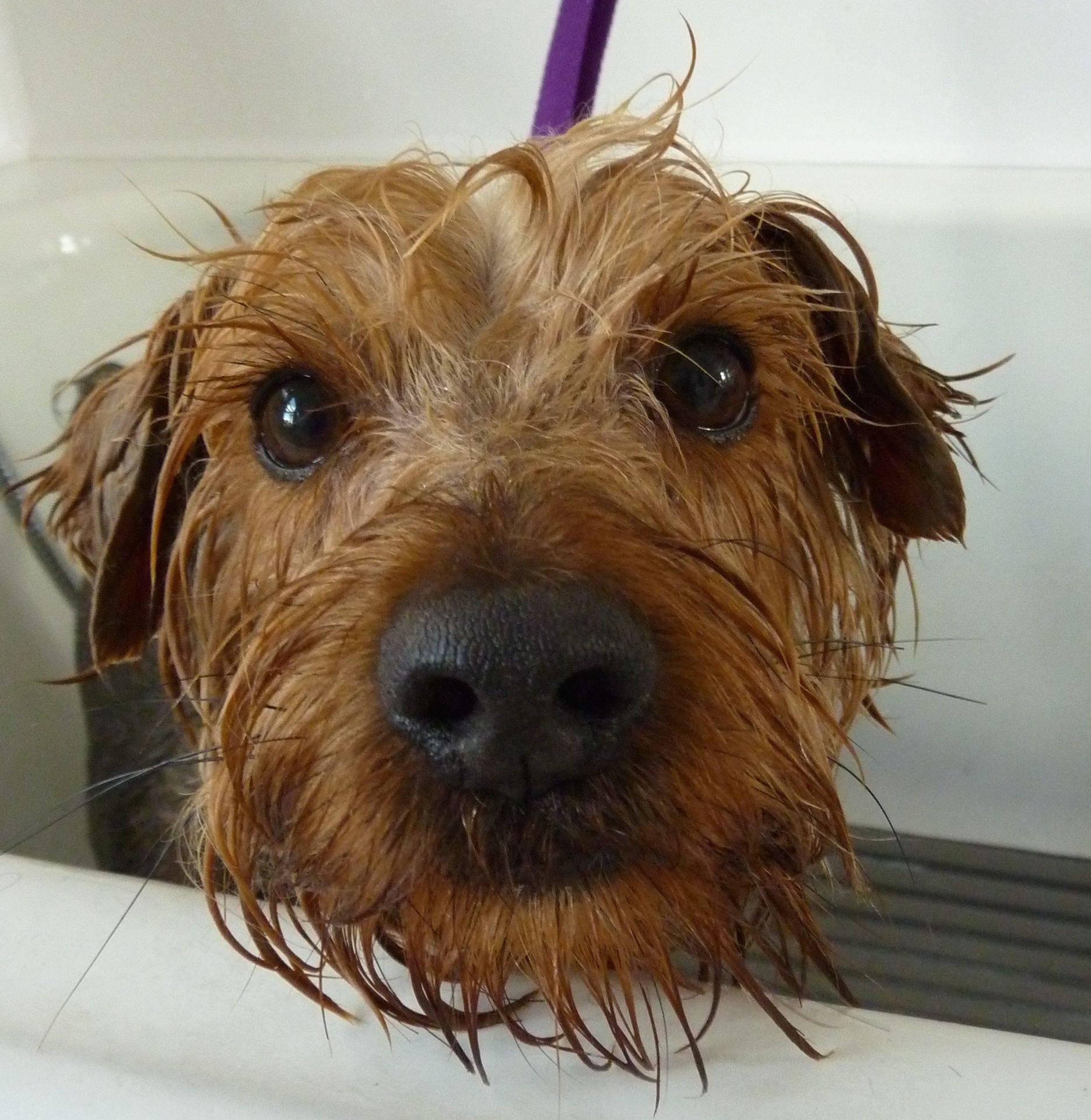 Alfie - Yorkshire Terrier x. Bath time!