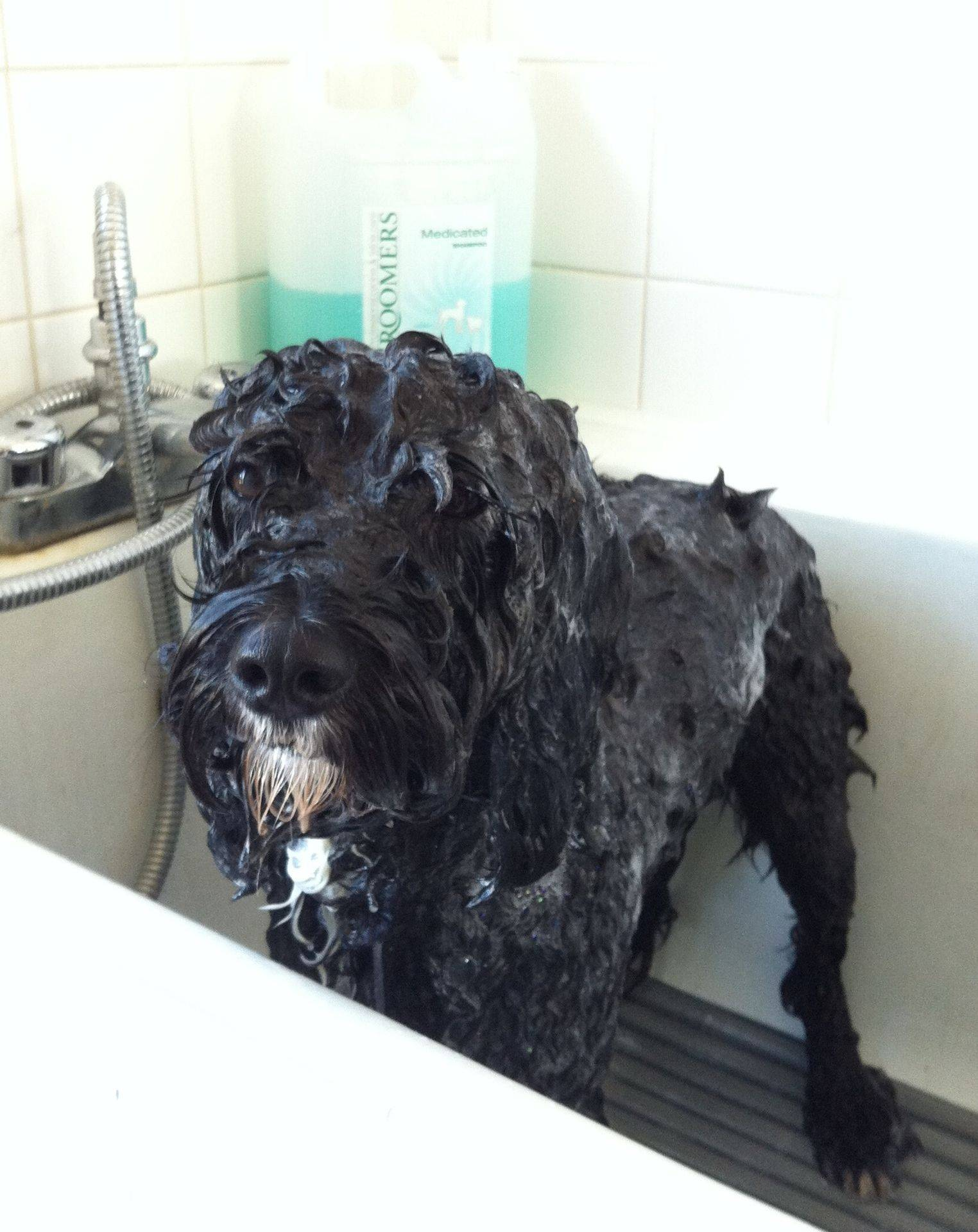 Charlie - CockerPoo. Bath time at Vickys Dog Care