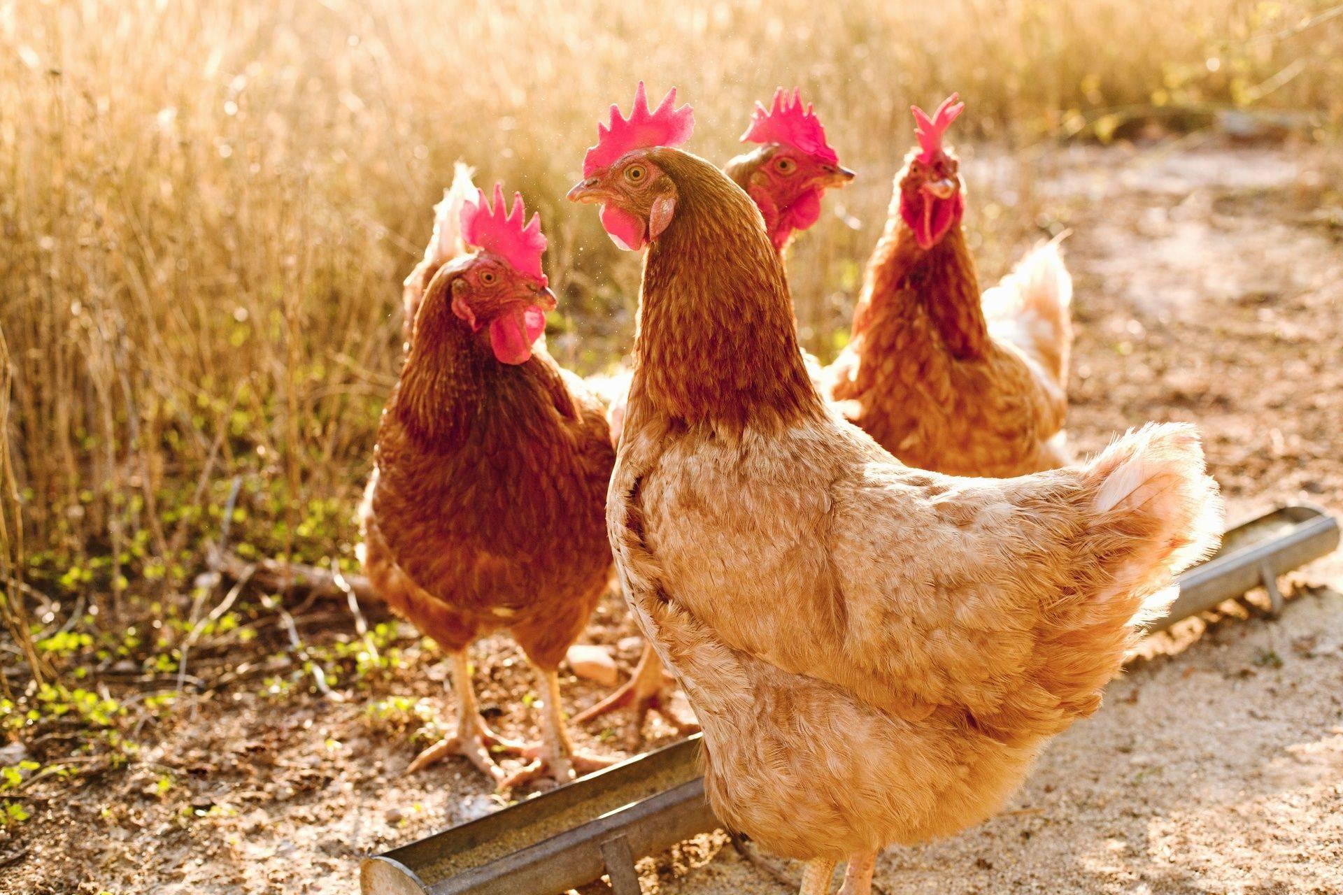 poules pondeuses rousses, élevage de l'ombrail