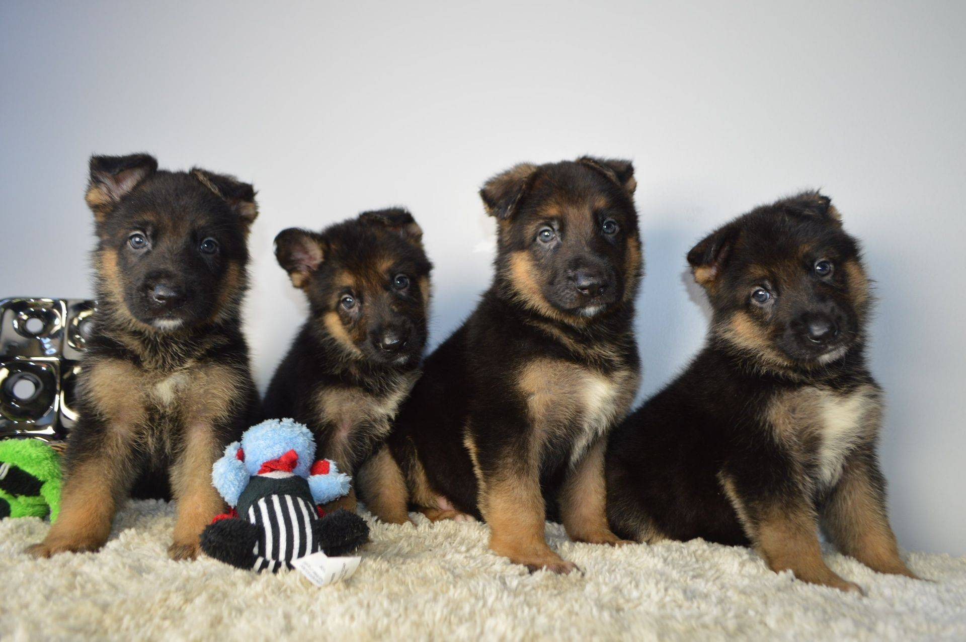 AKC litter Pups family Raised with Love