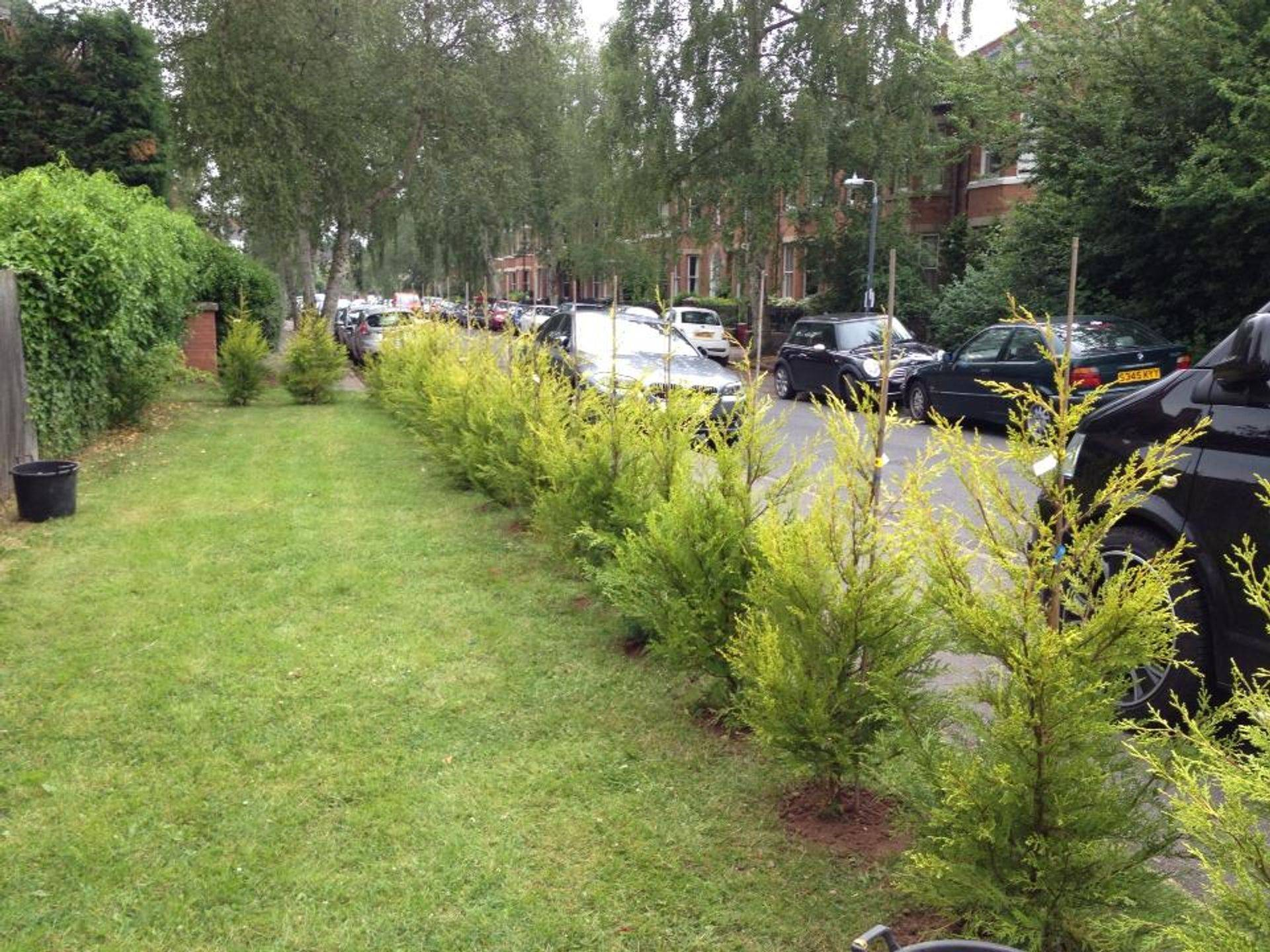 Hedge planting conifer