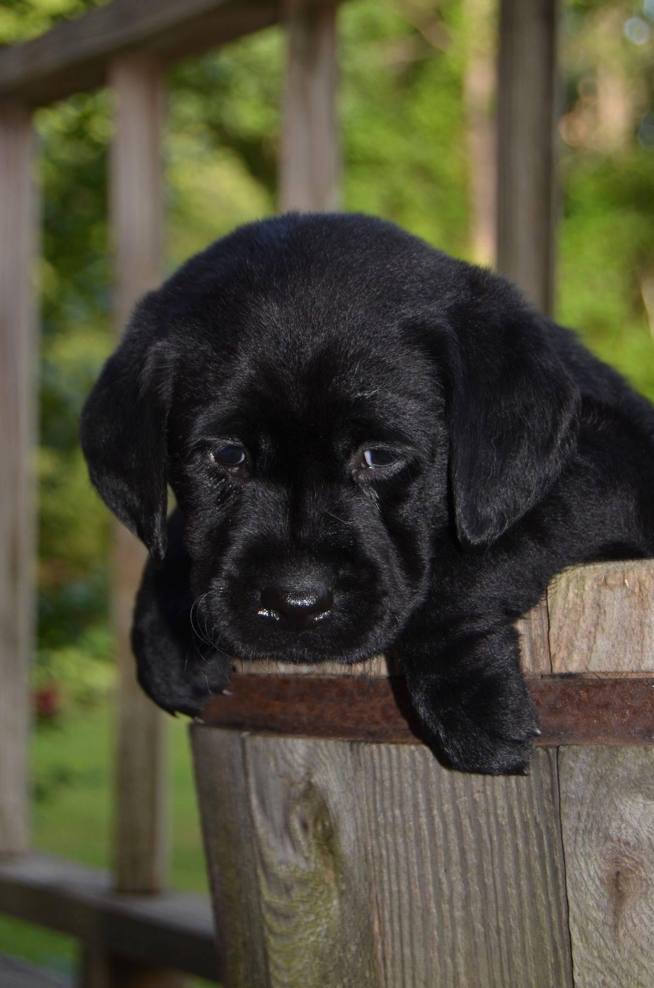 black female labrador puppy