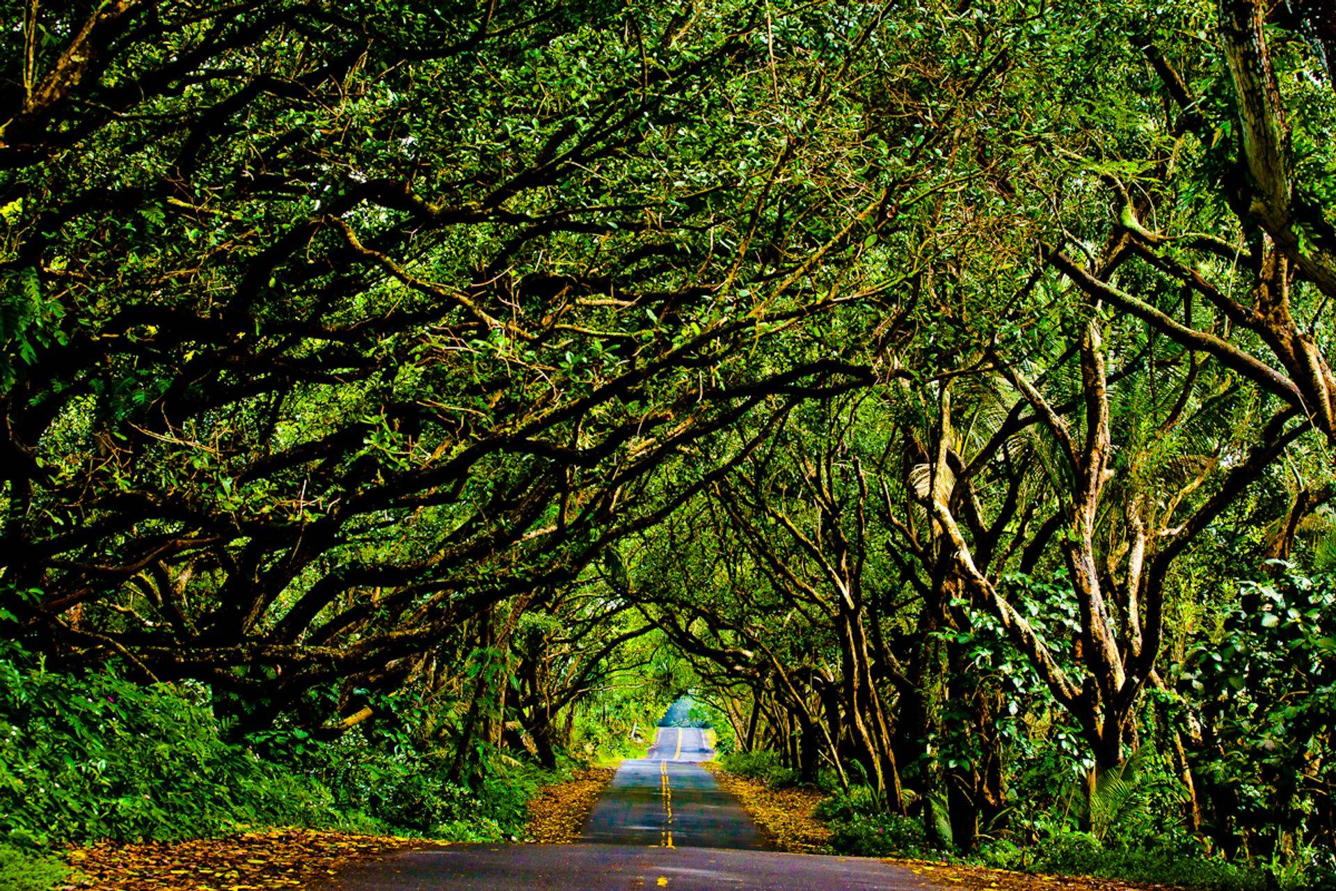 Tropical Tree tunnel on the Red Road in front of the Bali House & Cottage