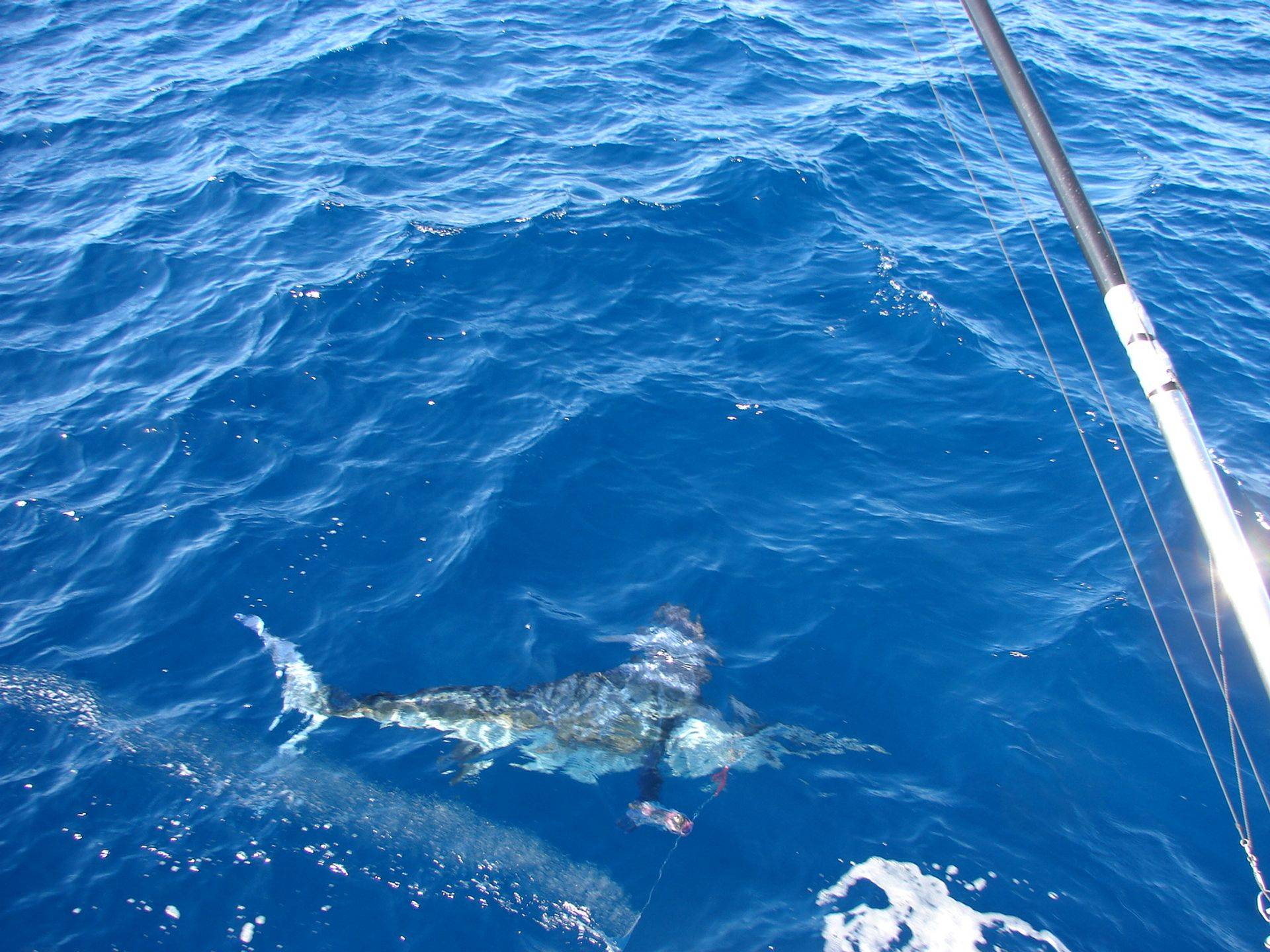Striped marlin coming in