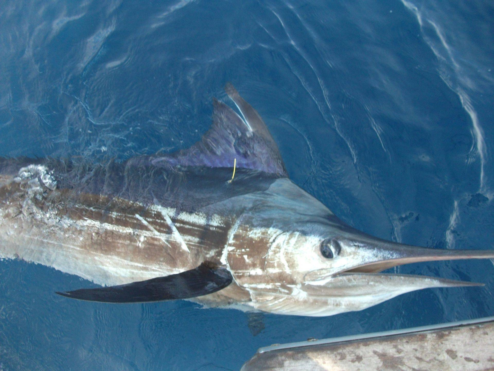 Tag and release marlin