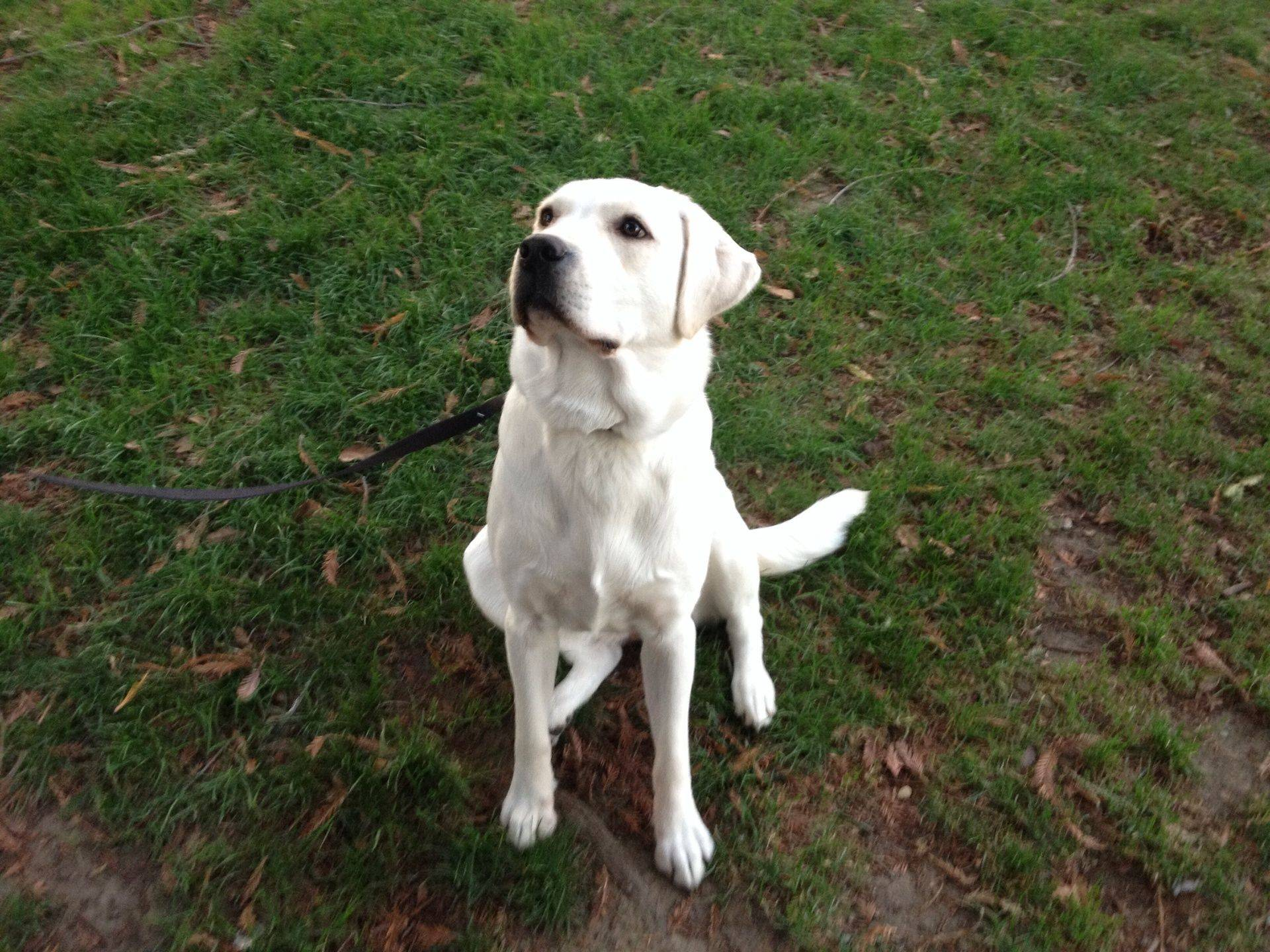 Milky English Labrador  Current Female Blanco Labradors