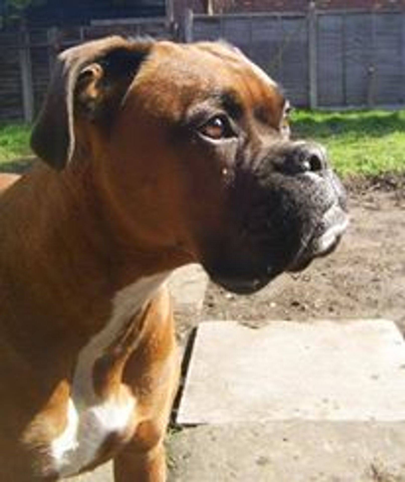 Boxer Rescue Dogs Needing Homes
