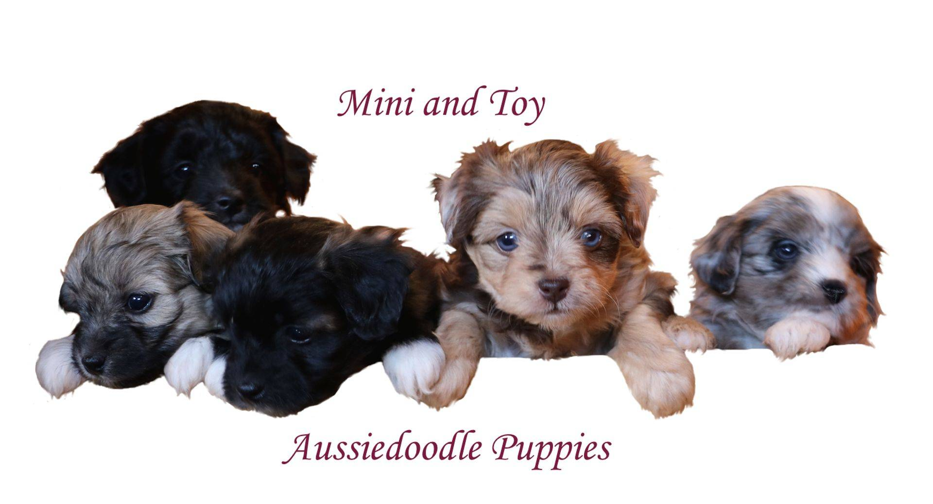 Aussiedoodle for in mn mini sale puppies #1 Rated