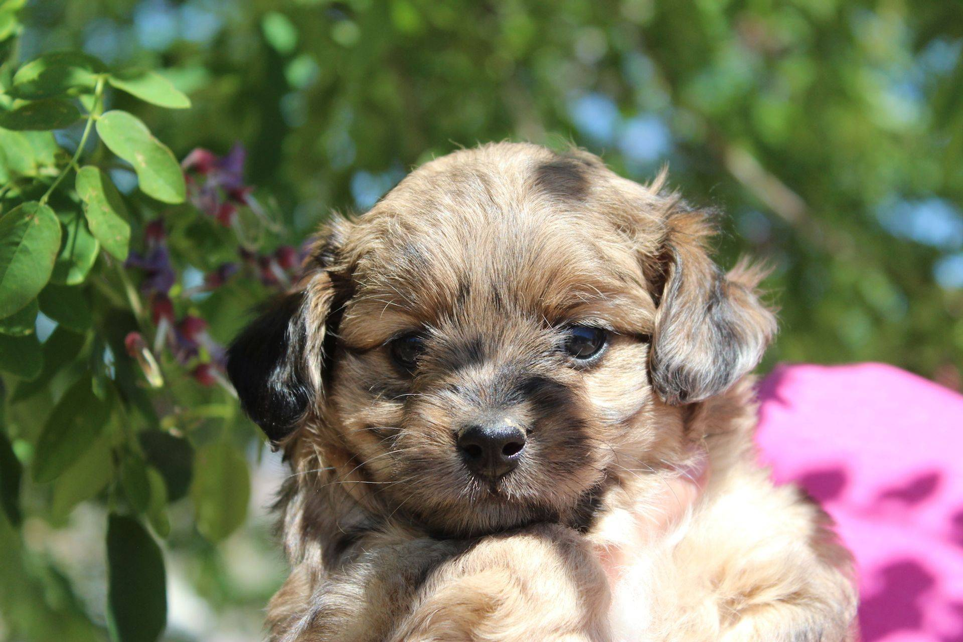 sable merle aussiedoodle puppy from cafeaulaitaussiedoodles