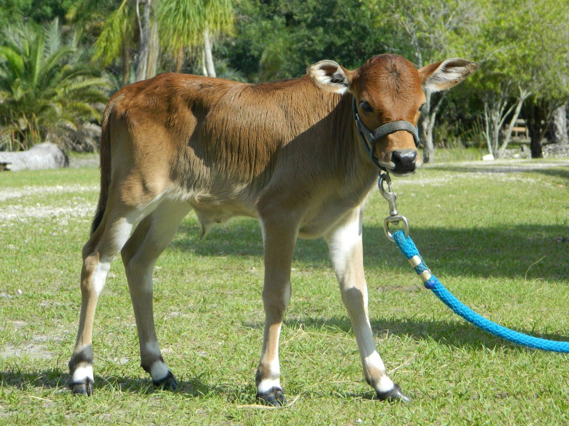 Miniature Zebu Cattle For Sale In Florida