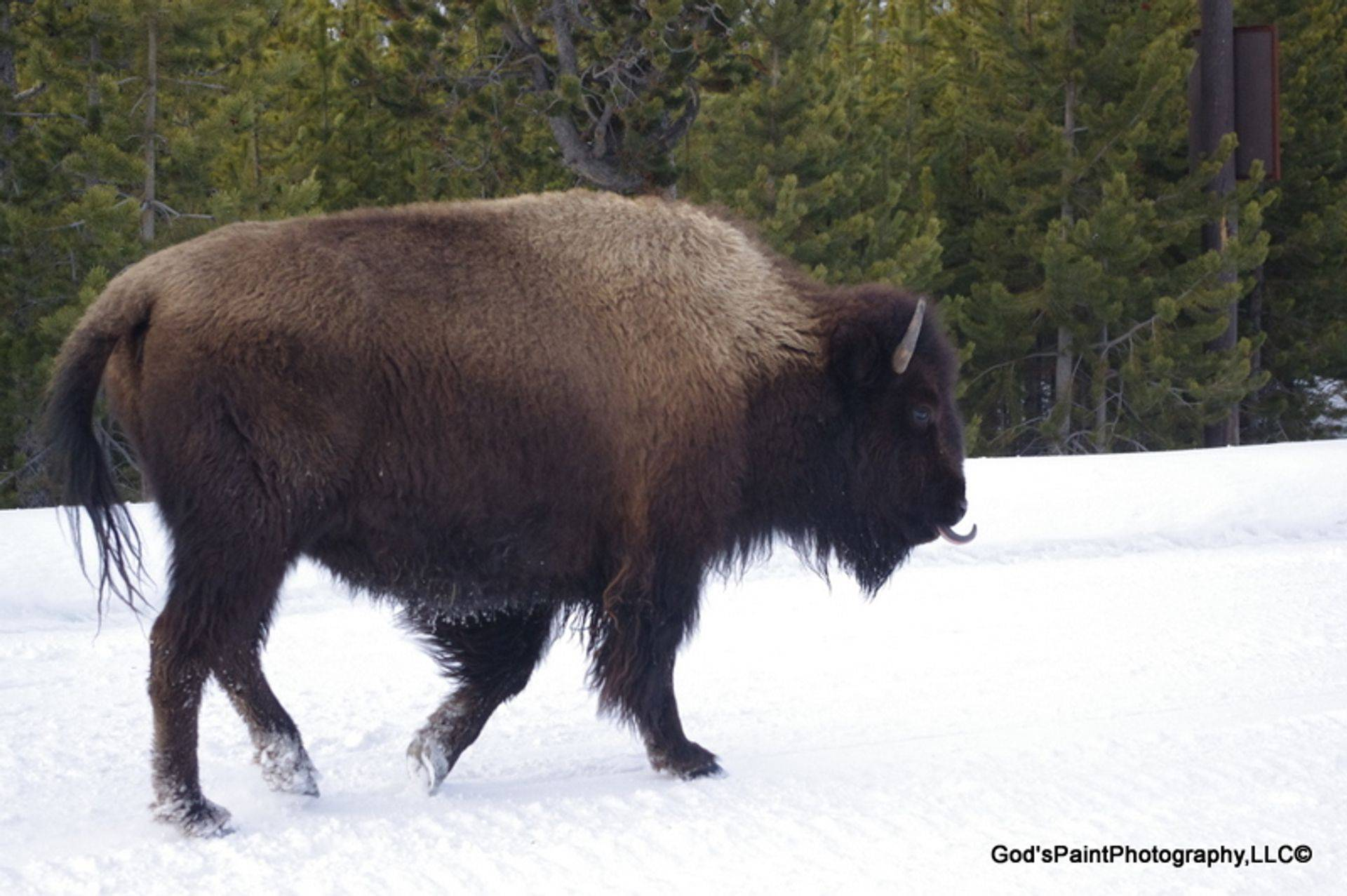 Bison- Look At That Tongue....