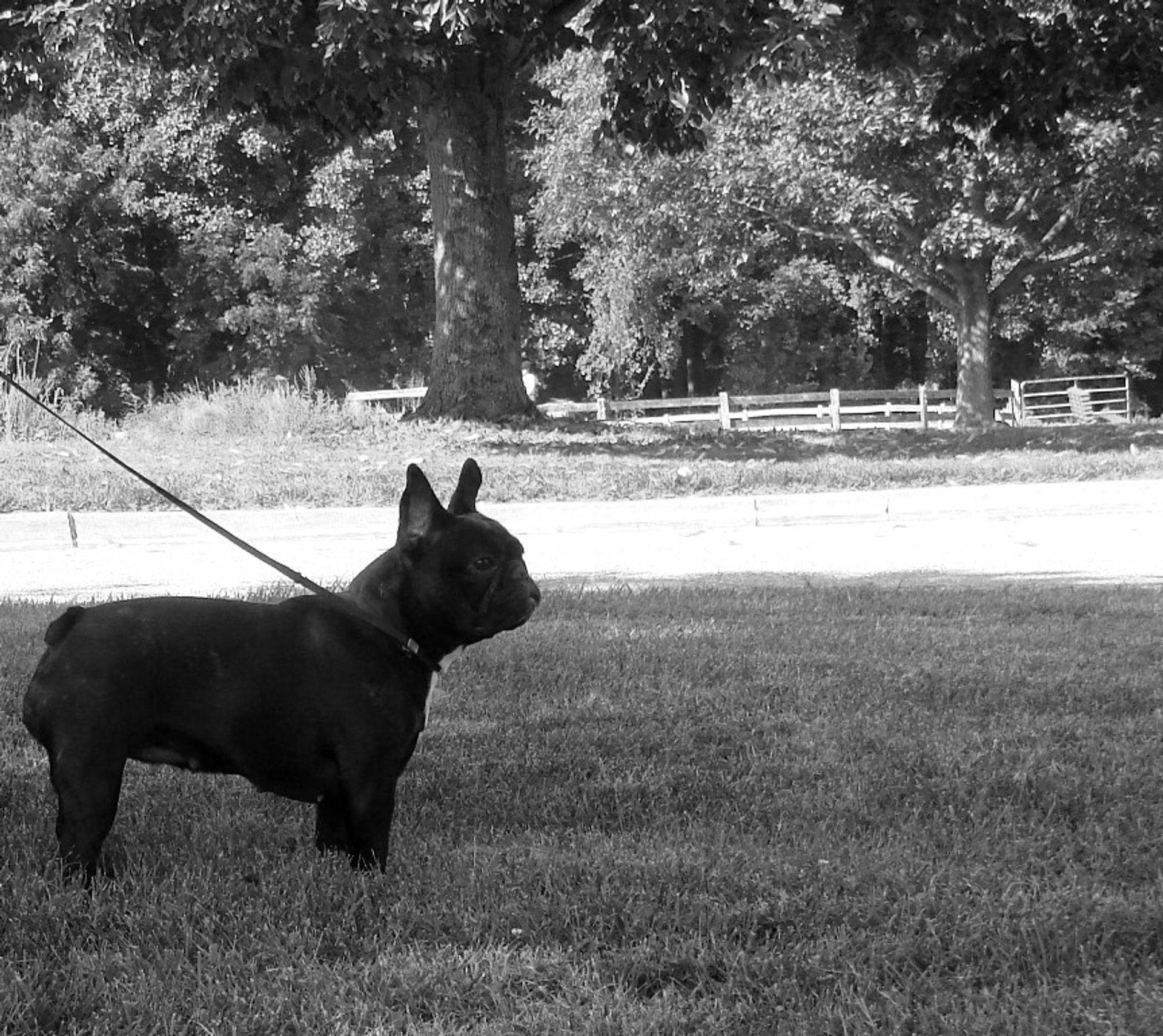 GCH Idylls Au Bonheur des Dames, French Bulldog Breeder in Maryland