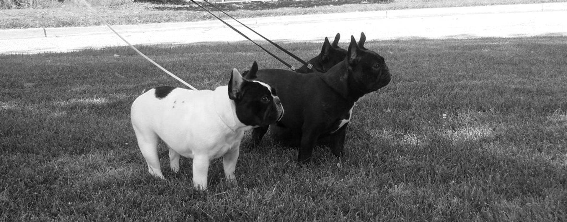 Available French Bulldog Puppies, French Bulldog Breeder in Maryland