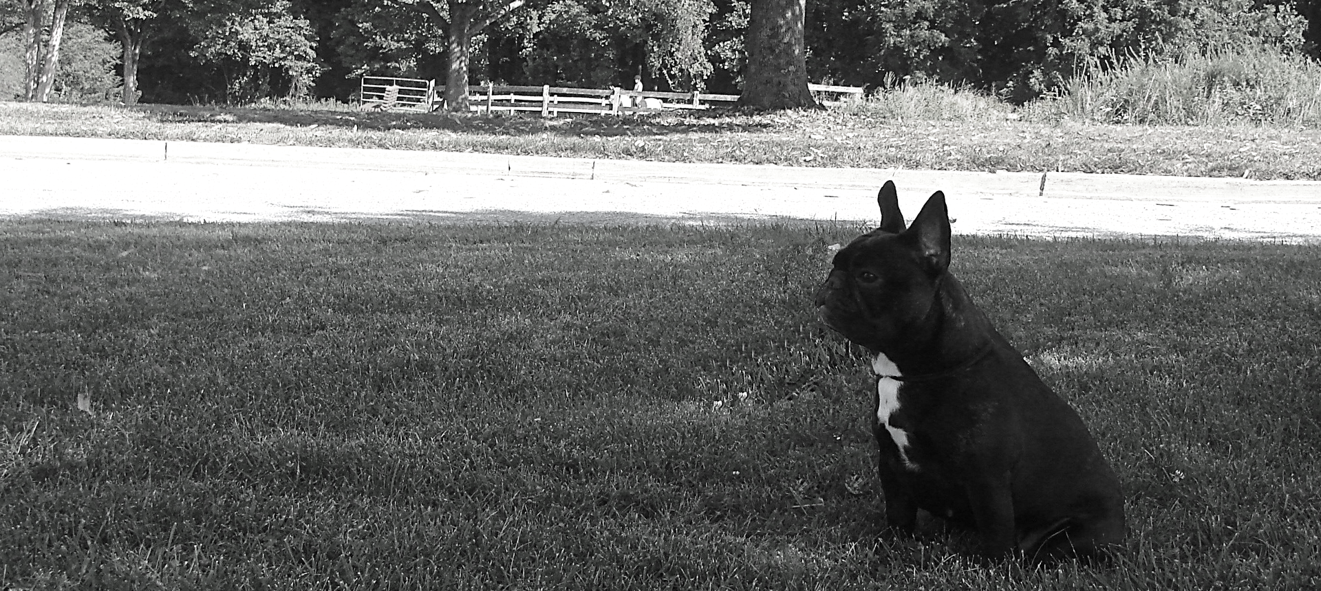 French Bulldog Breeder located in Maryland