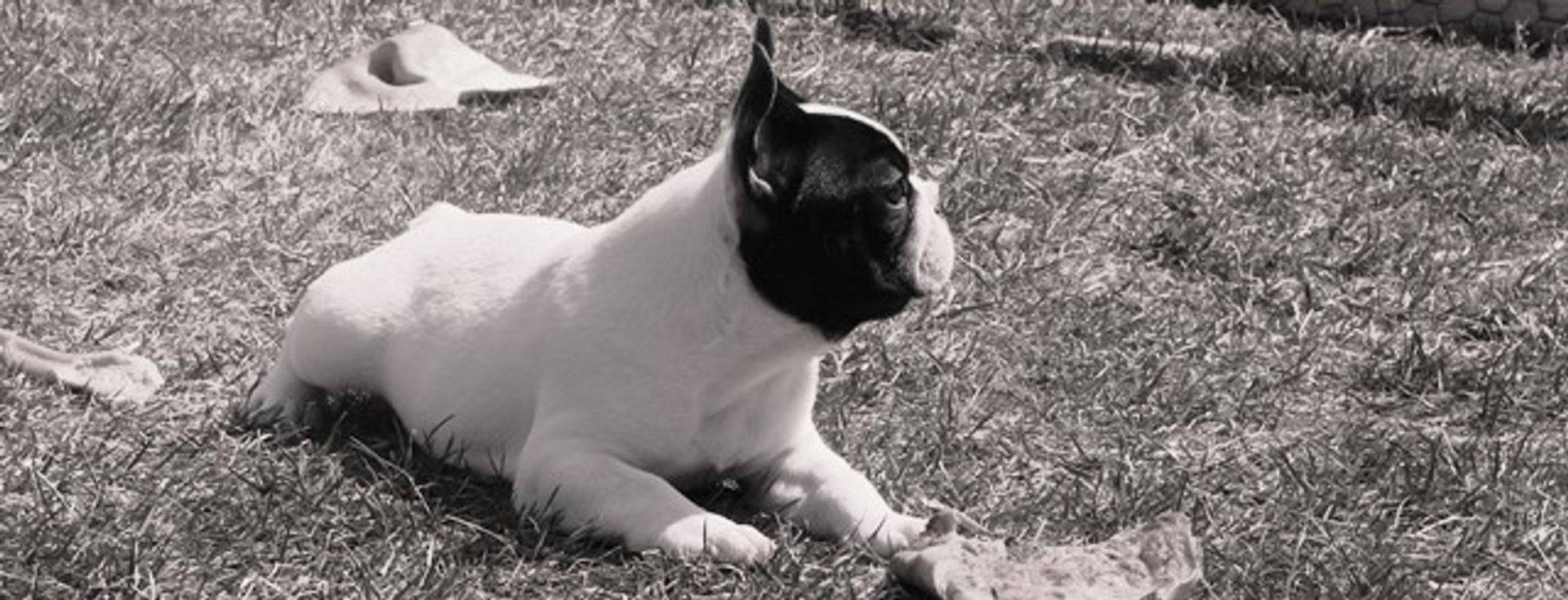 Beautiful Pied Male French Bulldog from Eazy x Solo litter,  Breeder:  Barbara McCarthy and Ingrid Gleysteen