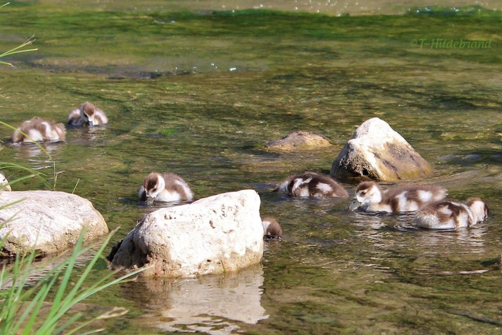 Spring Goslings: Egyptian Geese