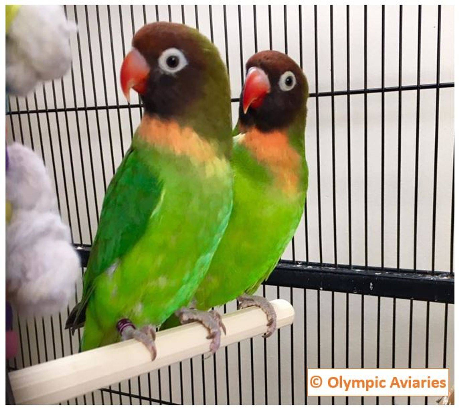 Violet Factor PIed Peachfaced Lovebird