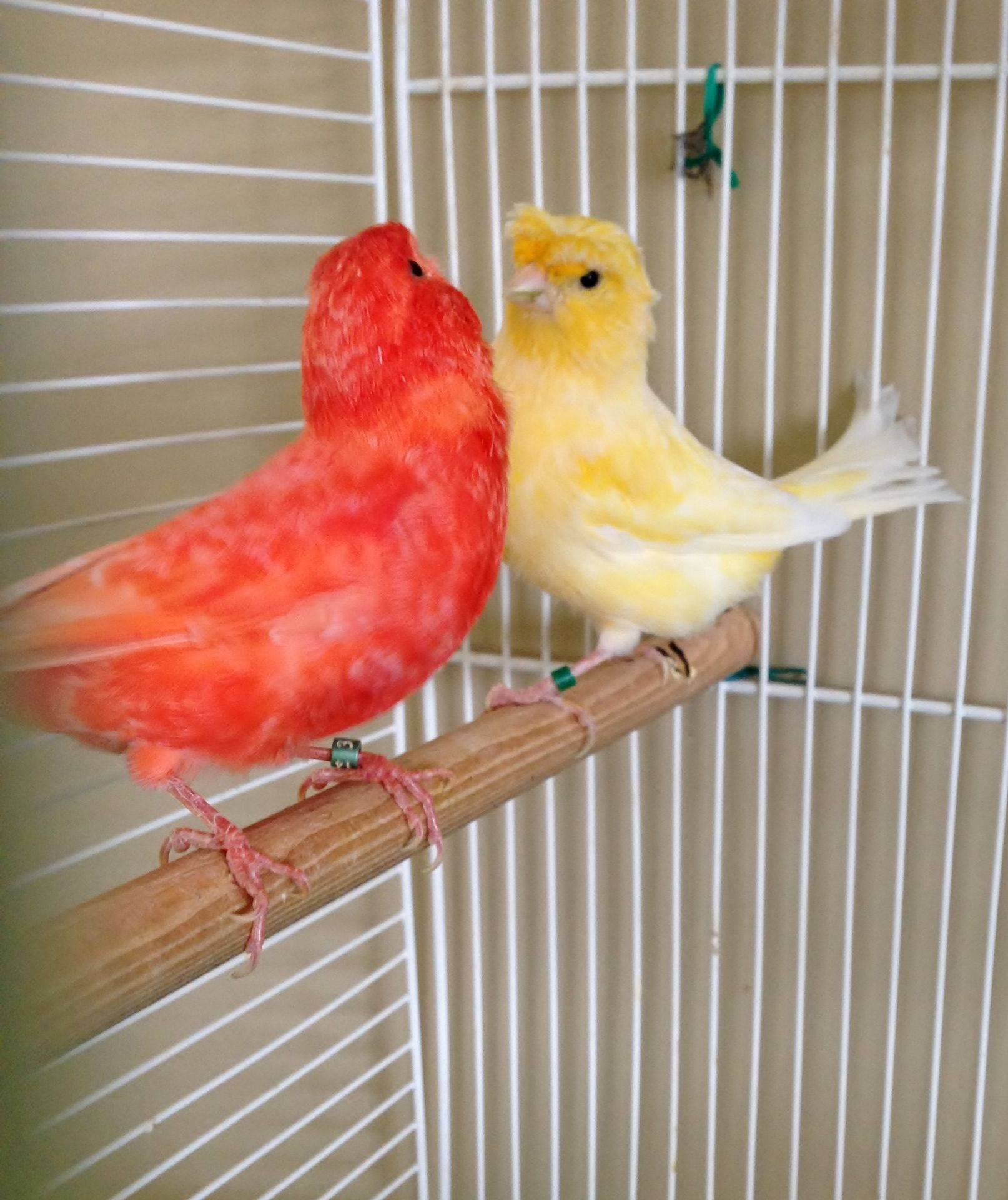Red Factor and Crested Canary