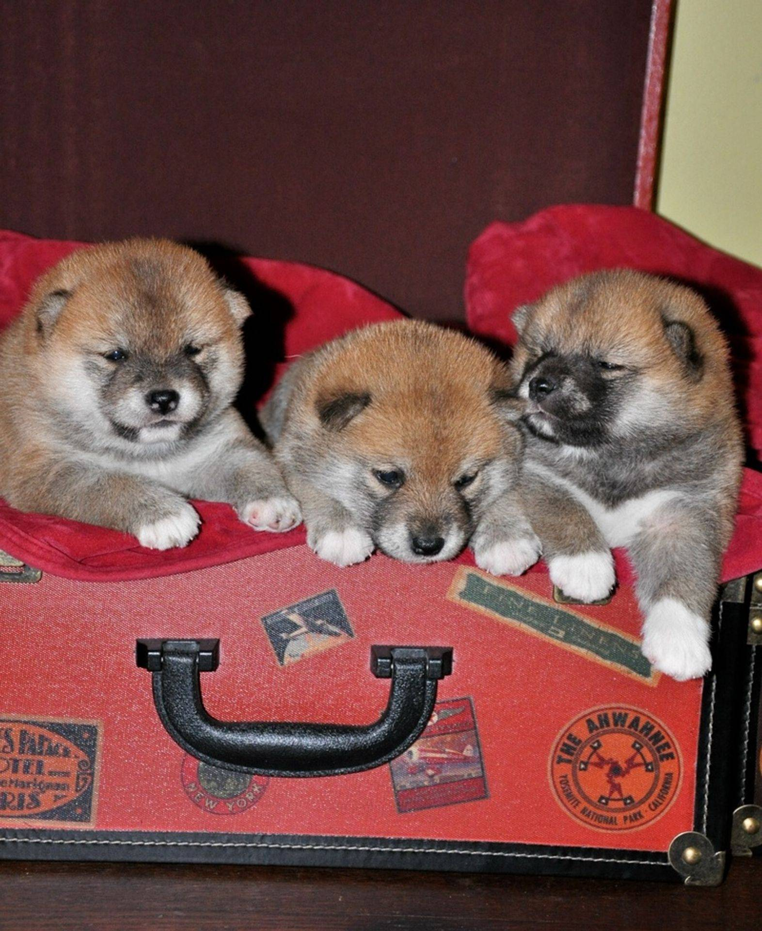 Shiba inu puppies lounging on the couch
