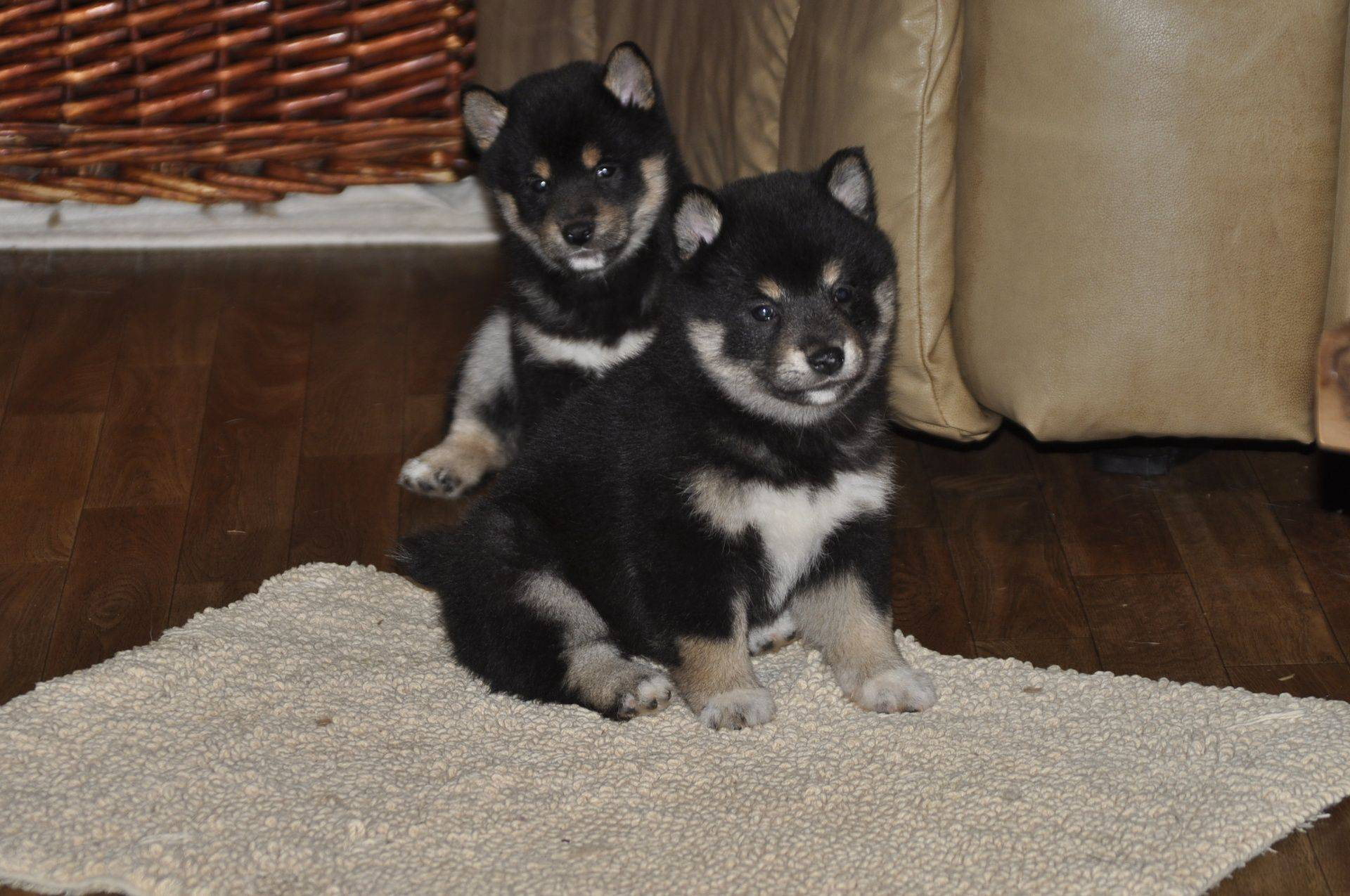 Shiba inu black and tan pups