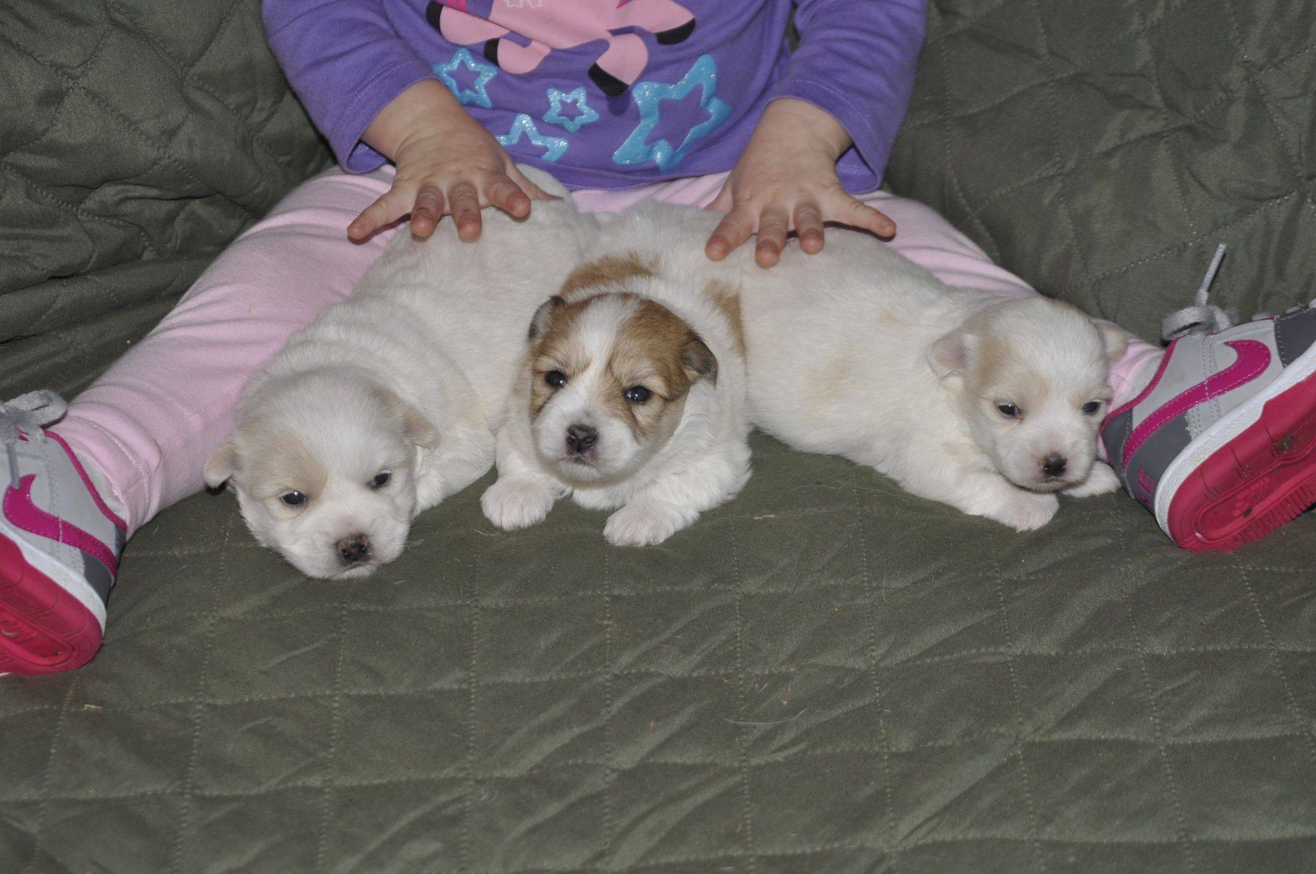 Trained Coton de tulear puppies