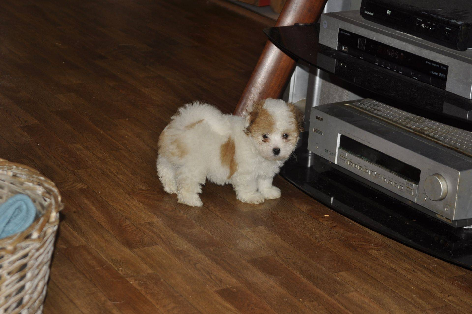 Coton de tulear puppy time