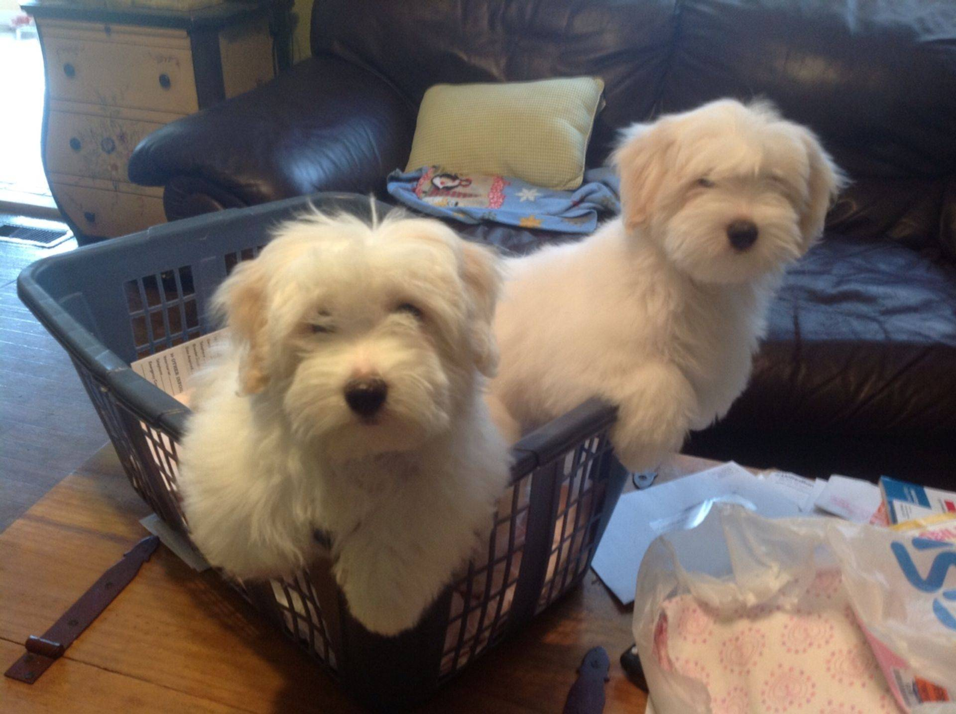 Coton de tulear puppies playtime